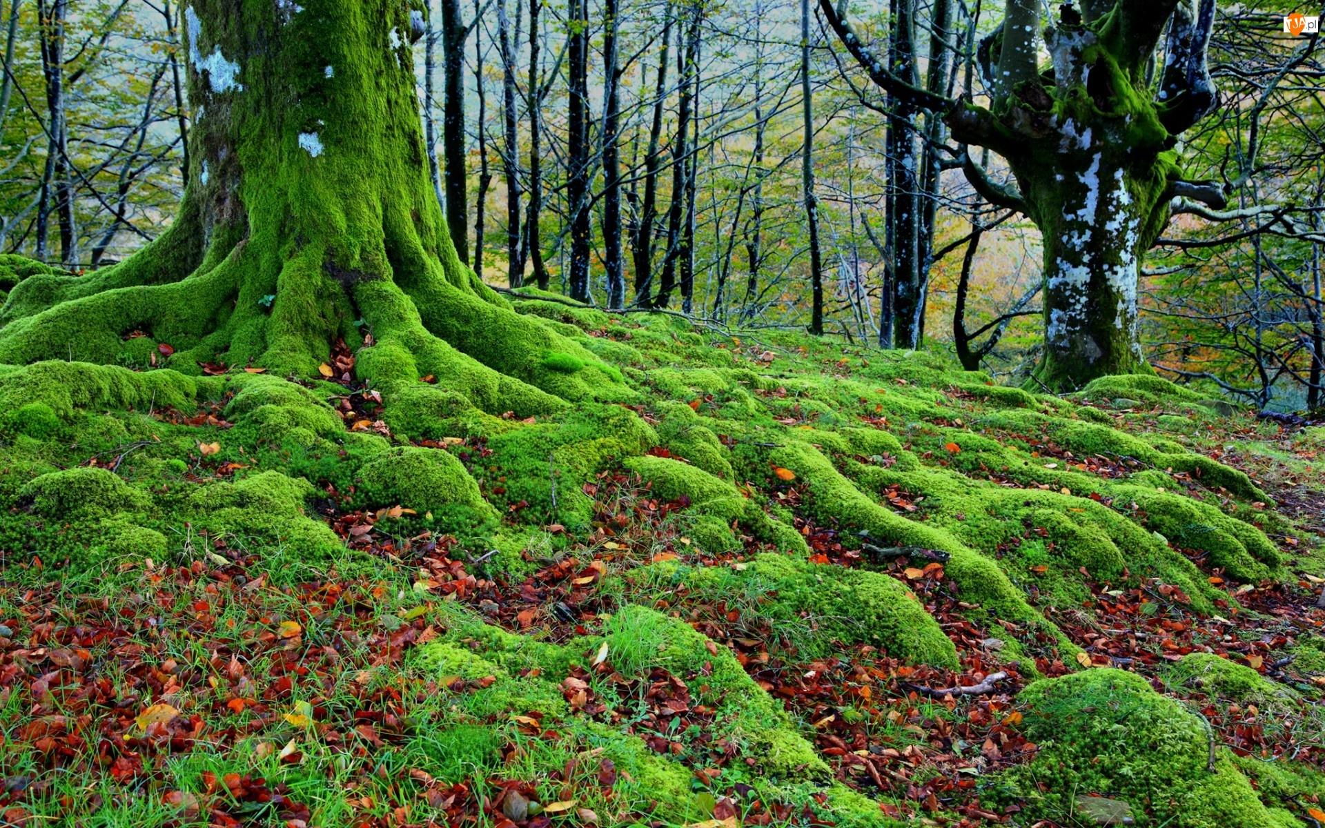 Las, Mech, drzewa, Liście
