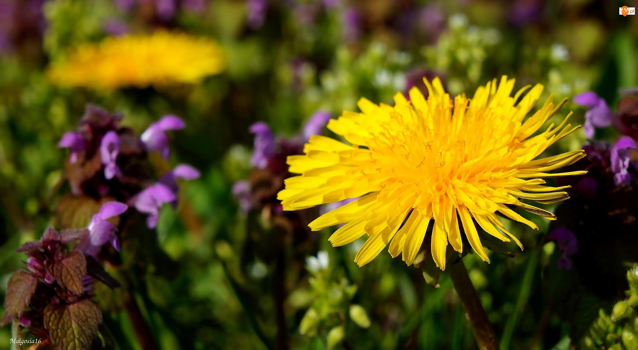 Łąka, Żółty, Mniszek Pospolity, Kwiat, Mlecz