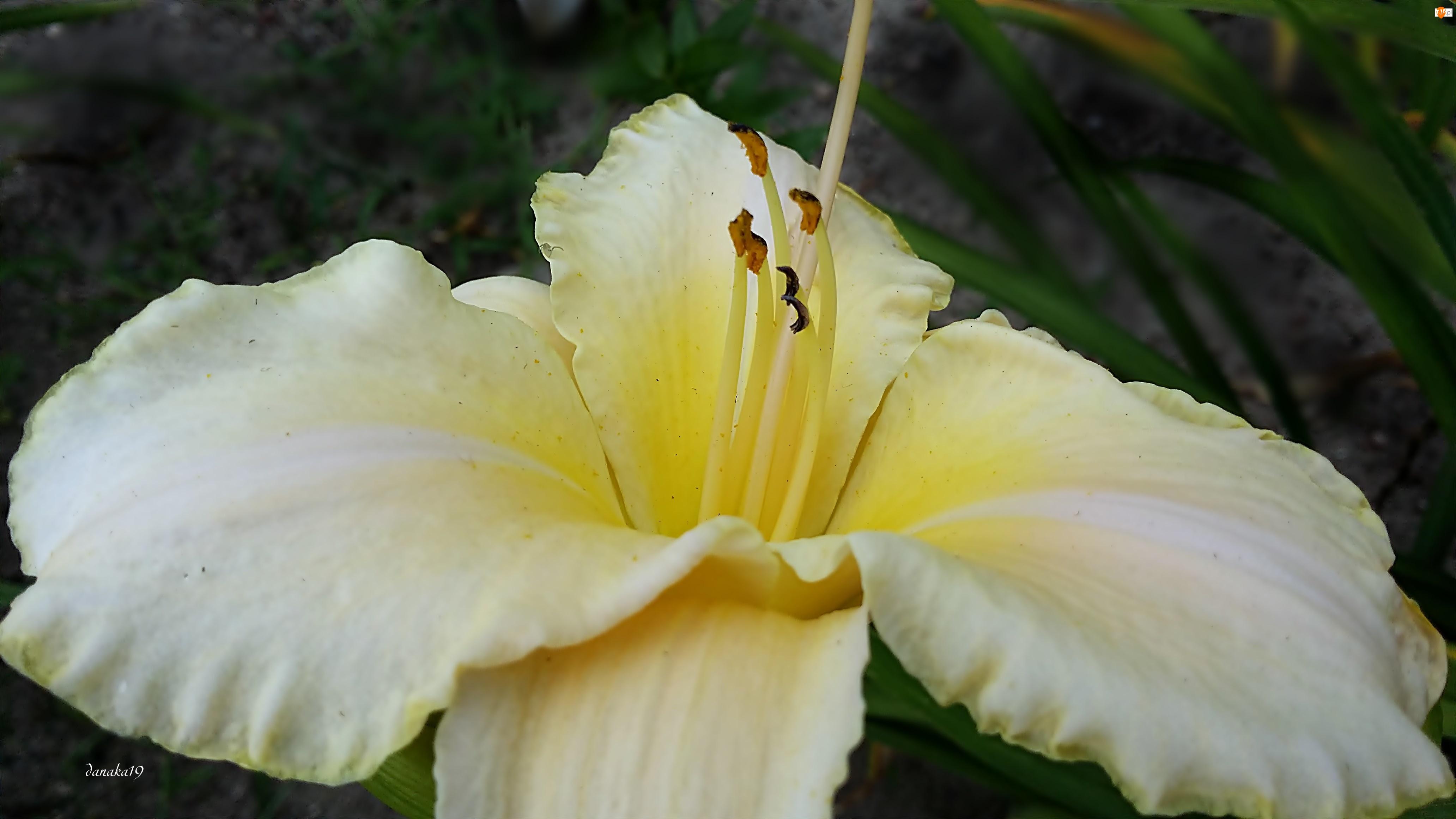 Biały, Środek, Liliowiec, Żółty