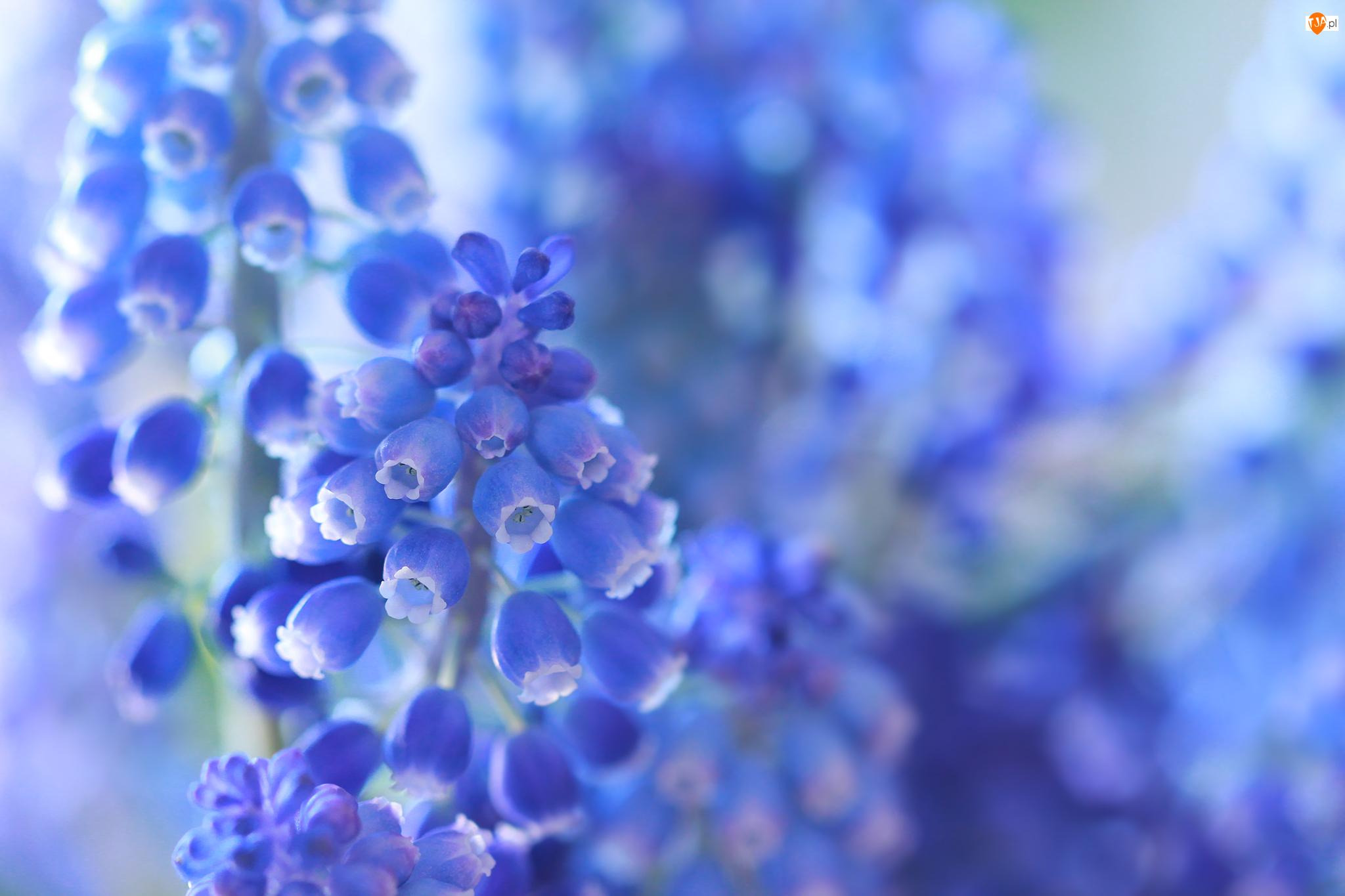 Szafirki, Niebieskie, Kwiaty