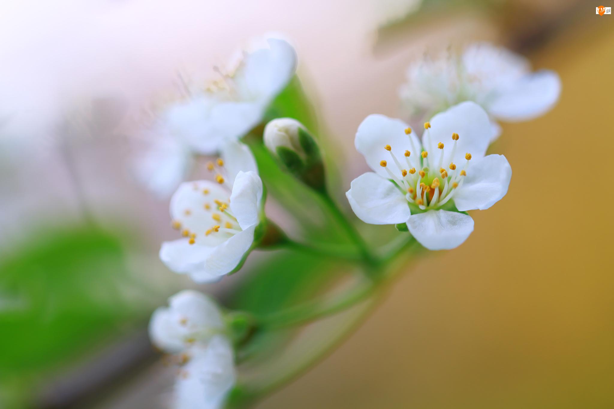 Rozmycie, Białe, Drzewo, Kwiaty, Owocowe
