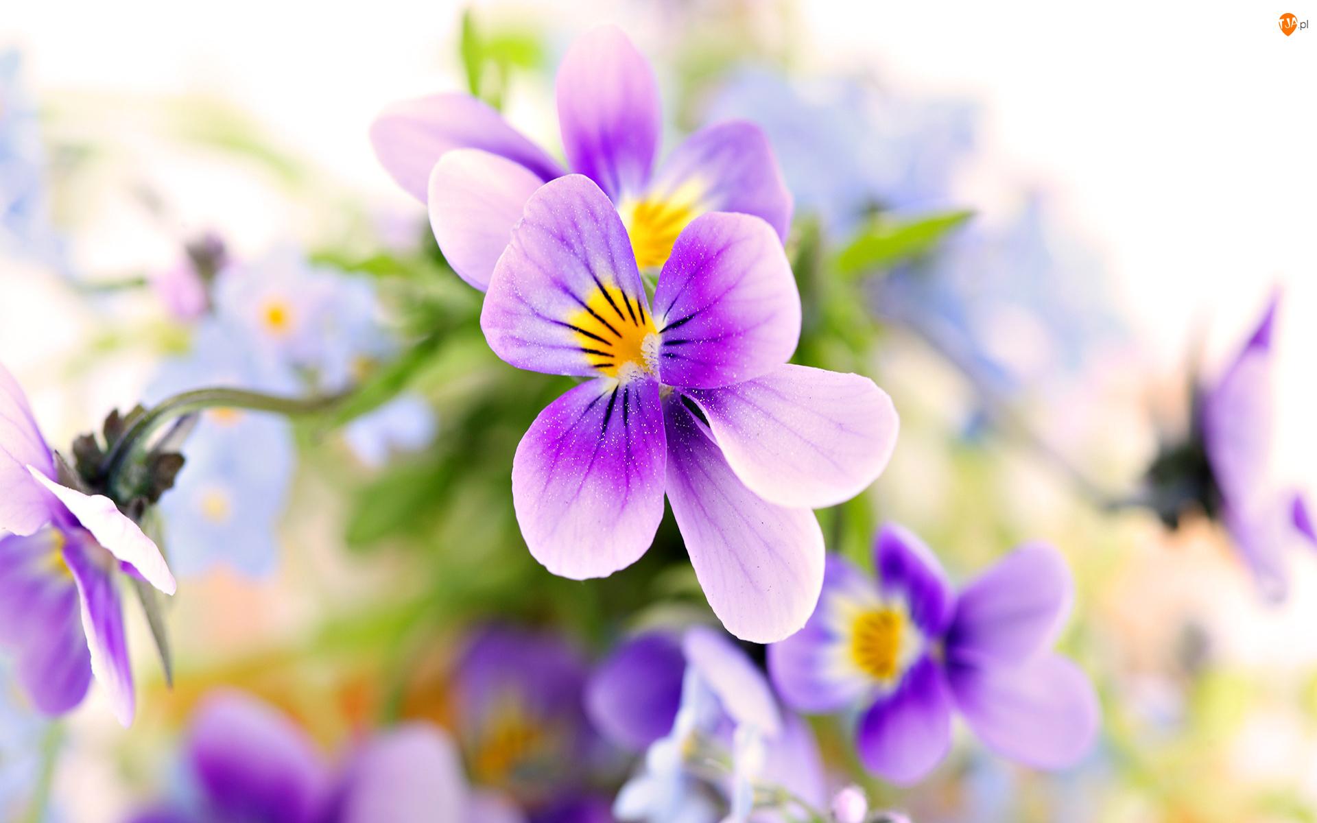 Kwiaty, Wiosna, Bratki, Tło rozmyte