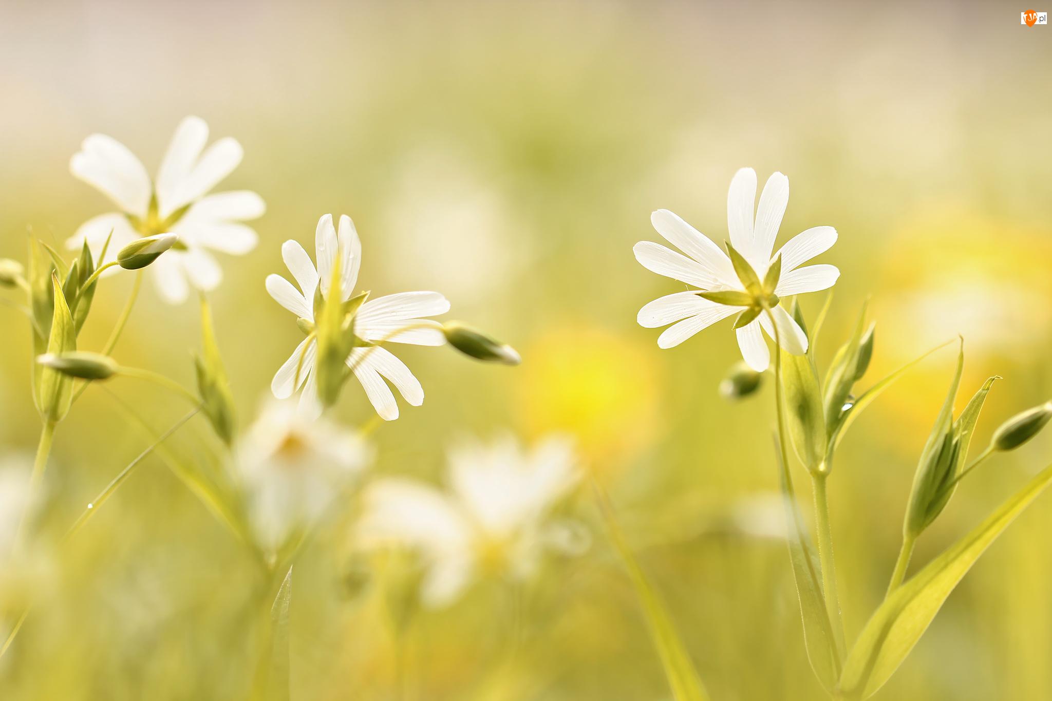 Kwiaty, Gwiazdnica Wielkokwiatowa, Białe