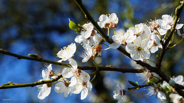 Owocowe, Białe, Gałązki, Kwiaty, Drzewo