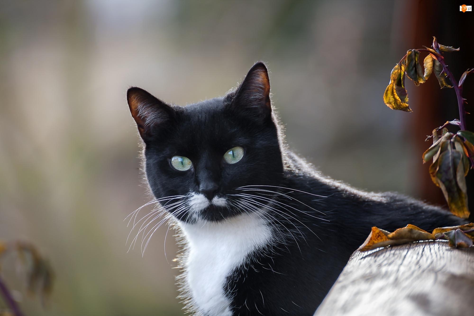 Liście, Czarno-biały, Kot