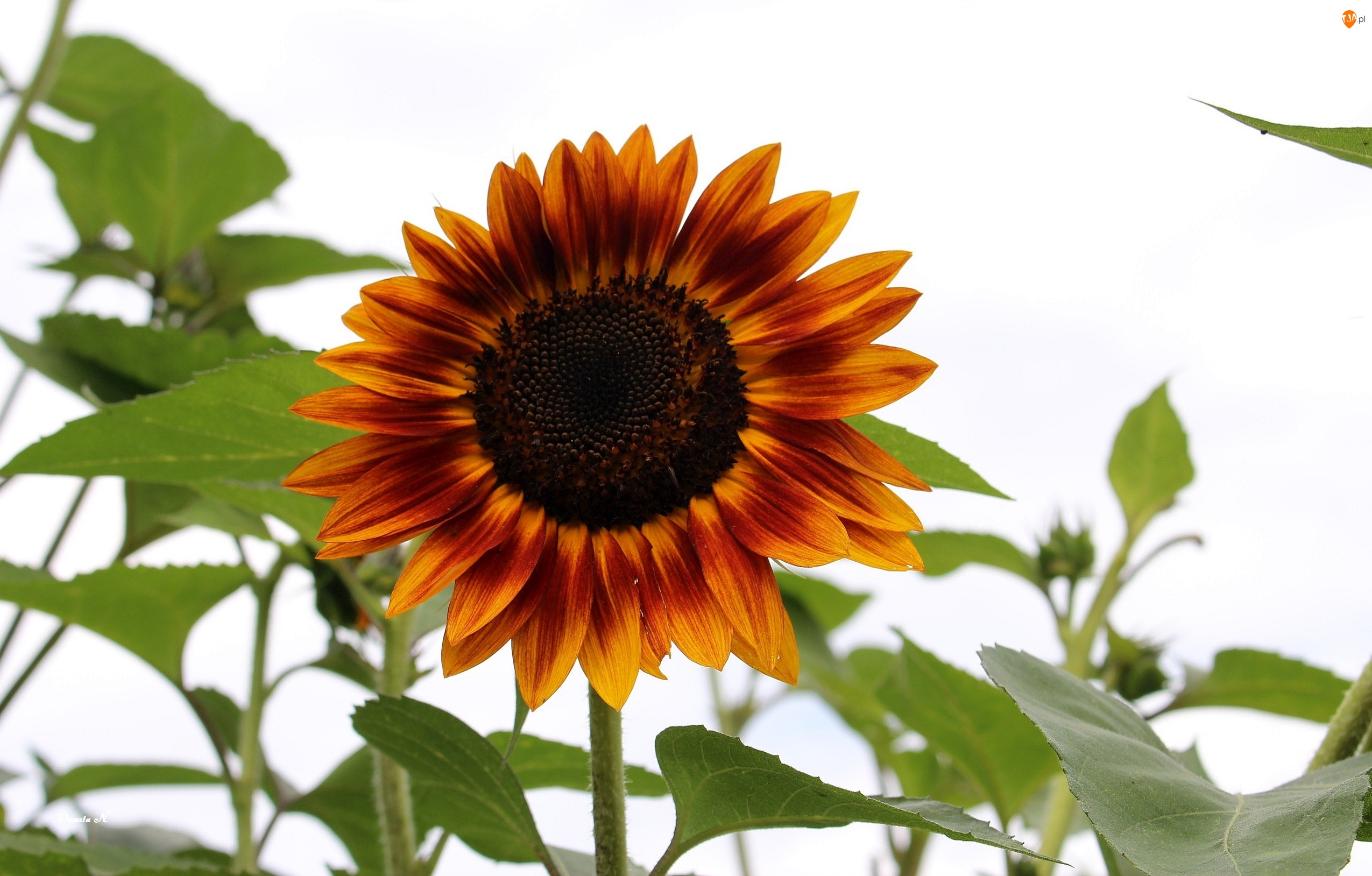 Lato, Słonecznik, Liście