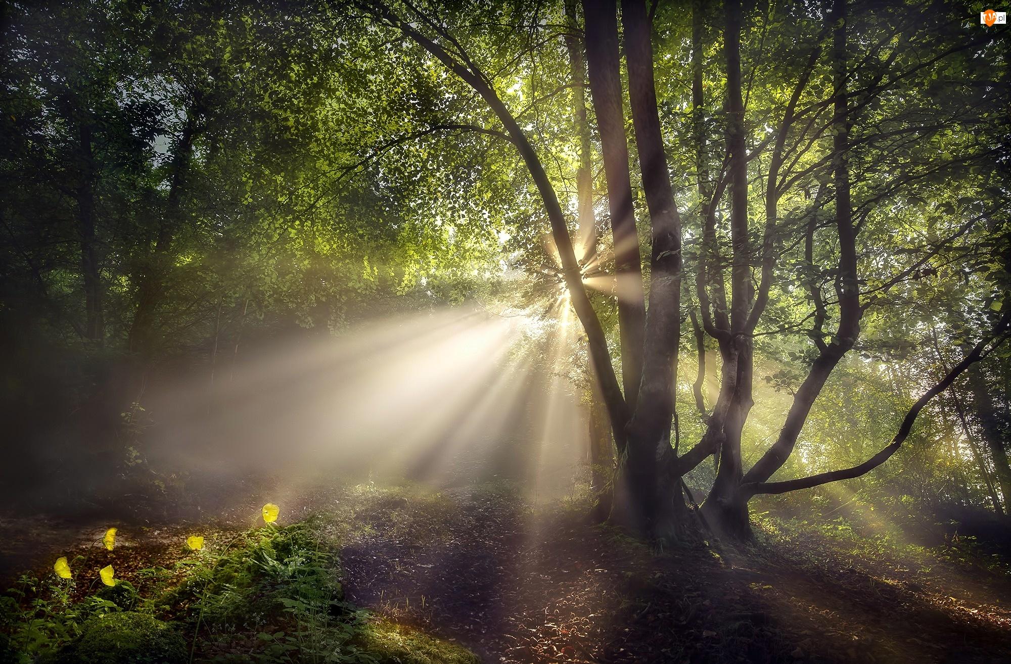 Las, Poranek, Drzewa, Promienie słońca, Kwiaty