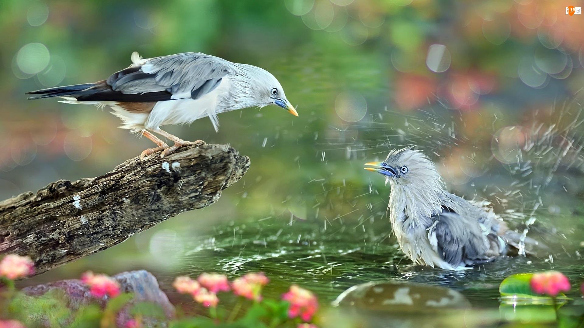 Ptaki, Kąpiel, Gałąź, Woda