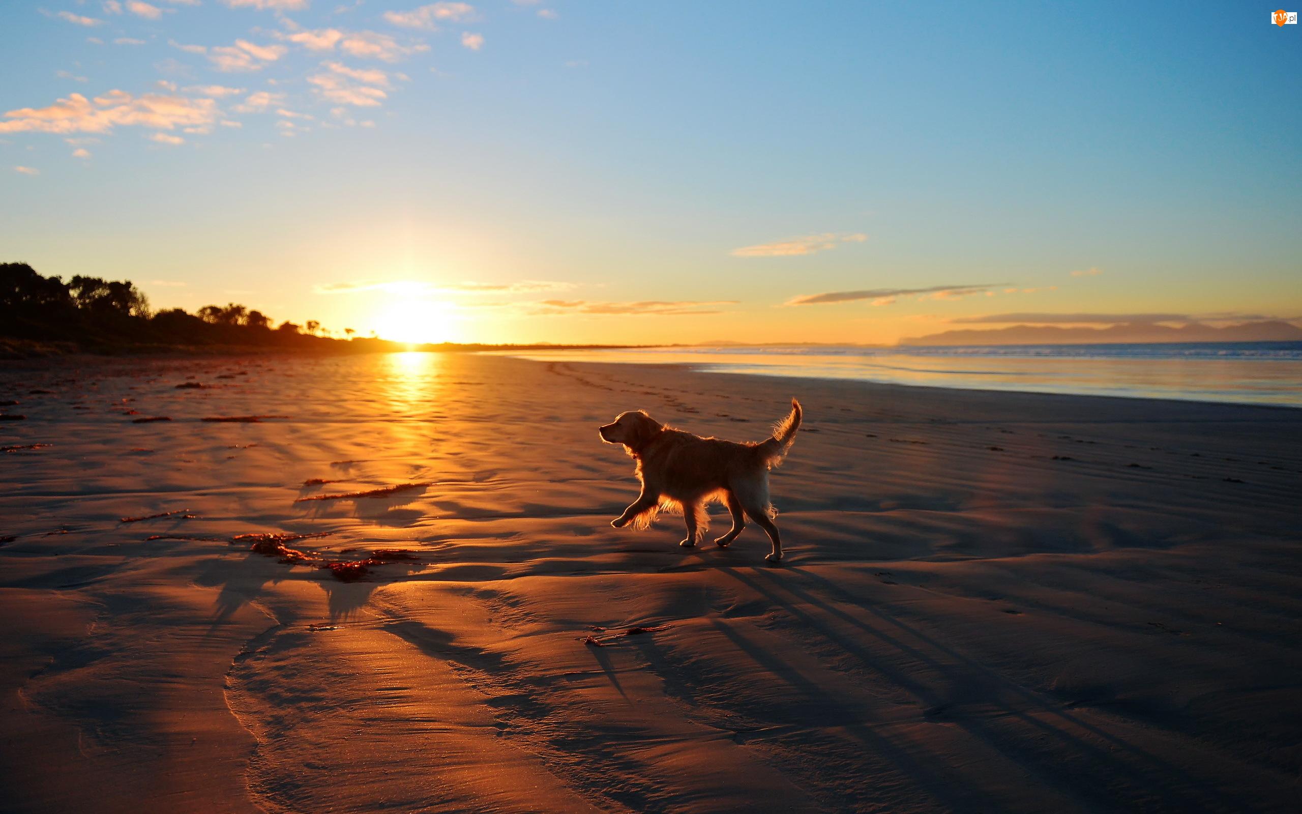 Golden Retriever, Plaża, Wschód Słońca