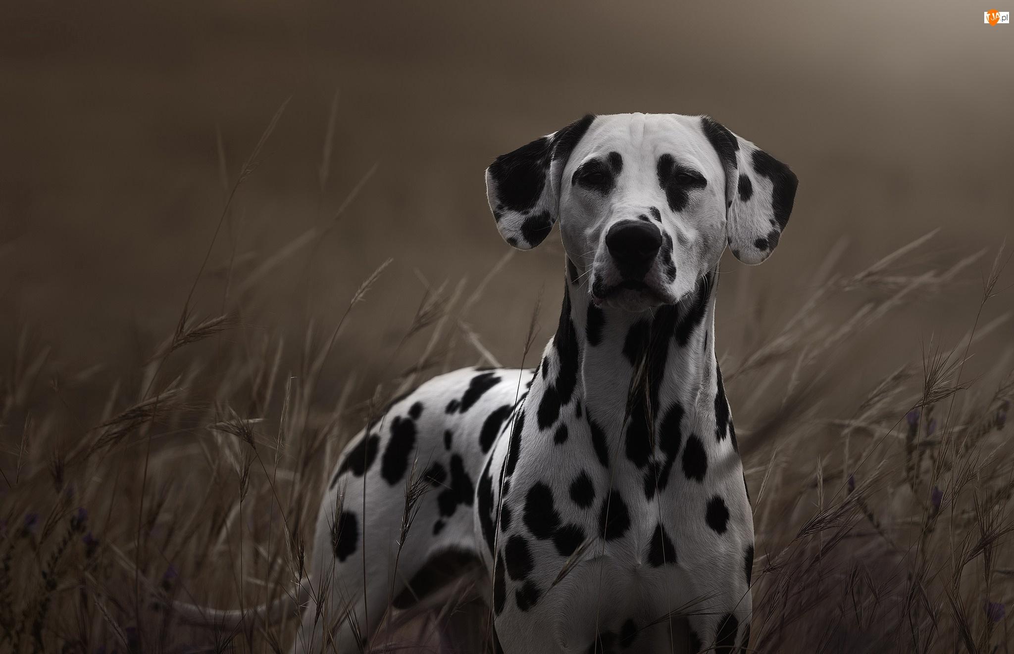 Trawa, Pies, Dalmatyńczyk