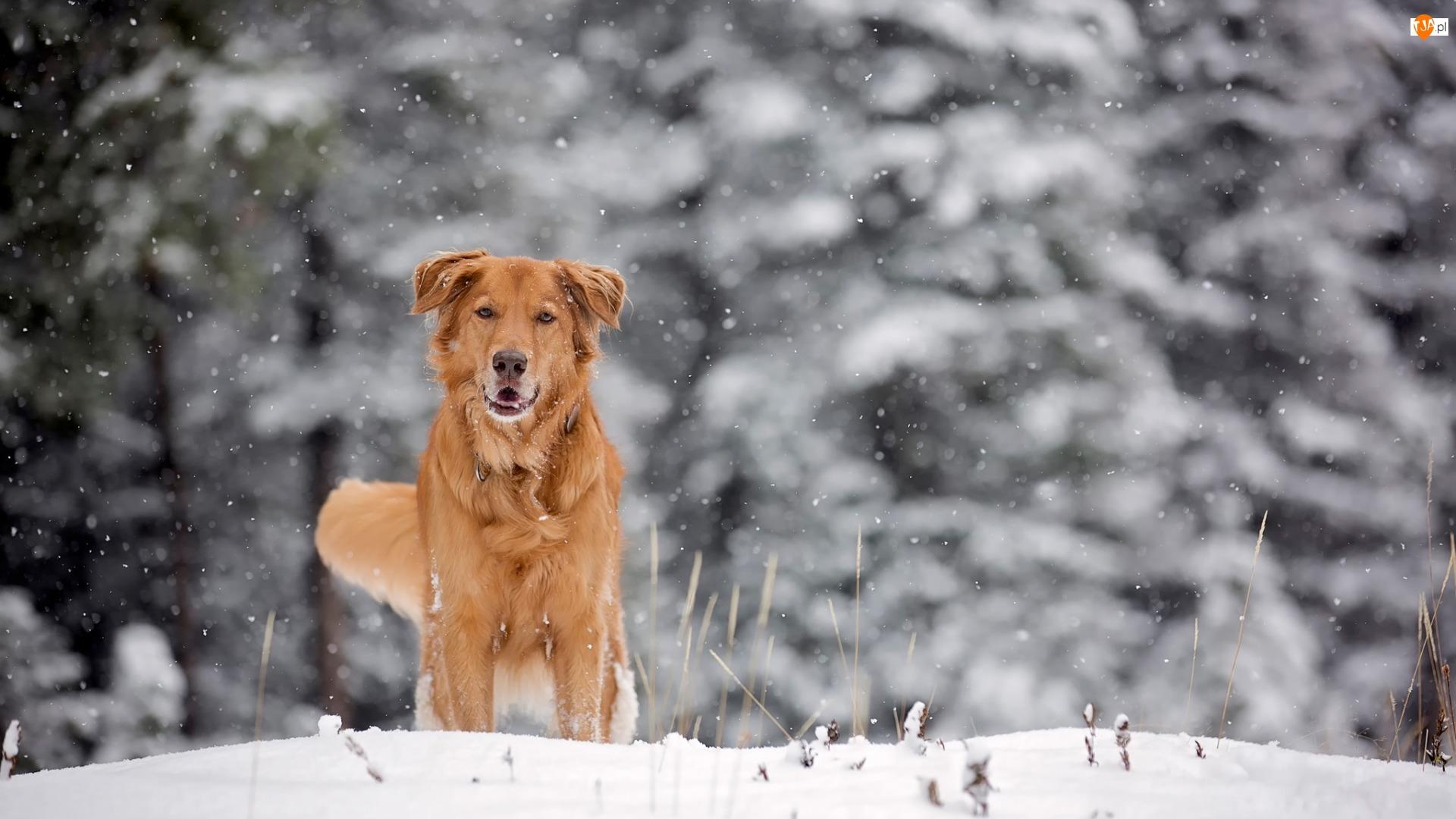 Rudy, Śnieg, Pies, Zima
