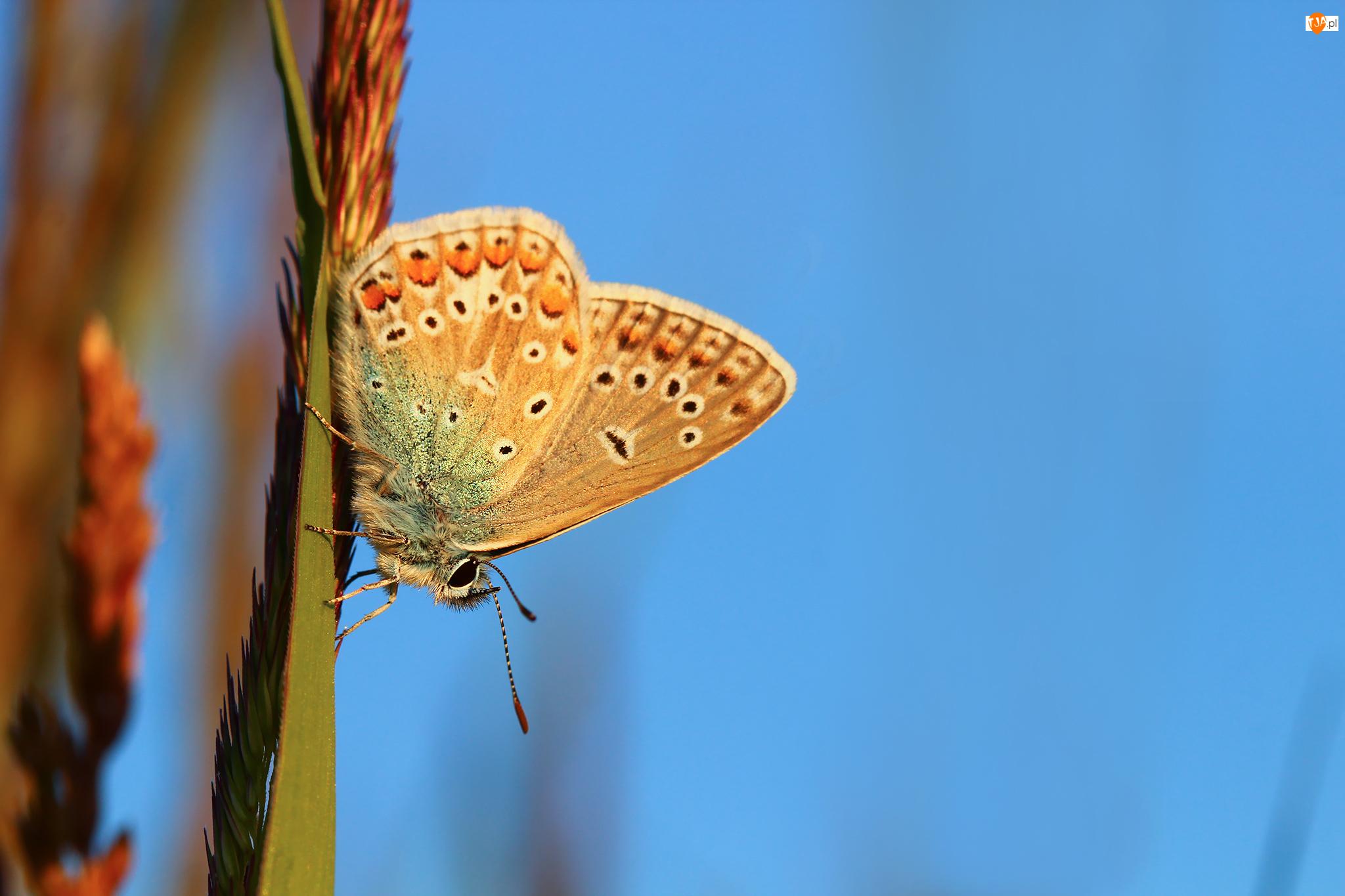 Motyl, Modraszek adonis