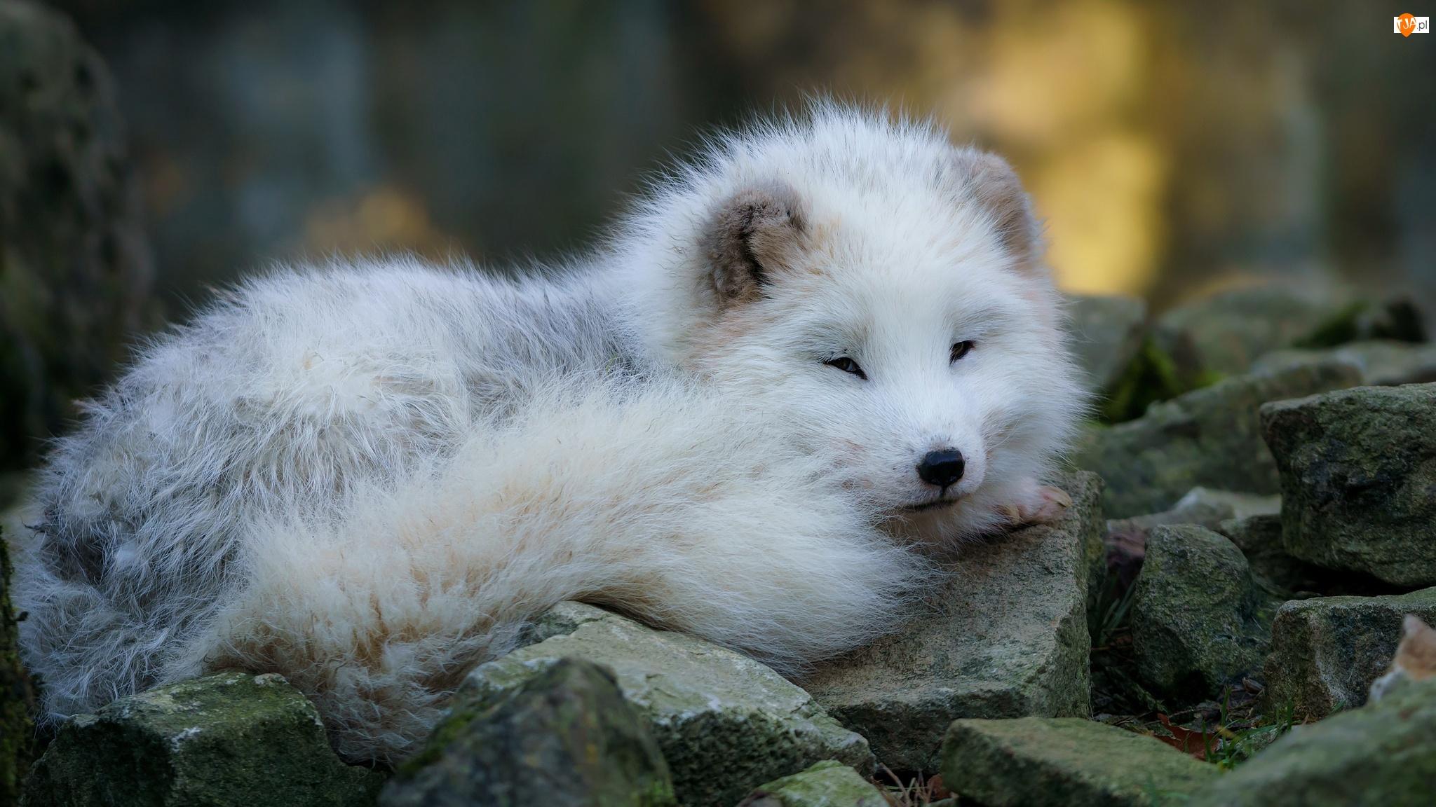 Młody, Kamienie, Biały, Lis polarny