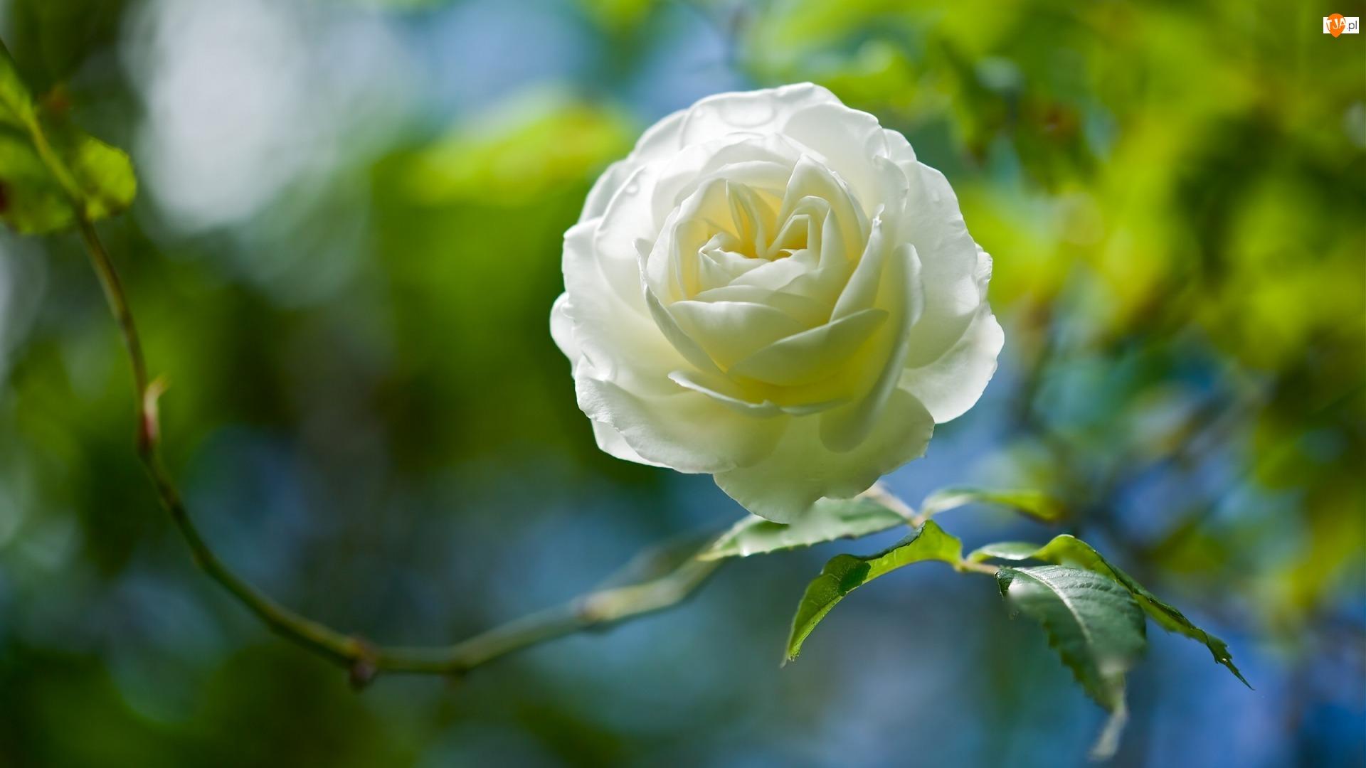 Biała, Tło, Róża, Rozmyte