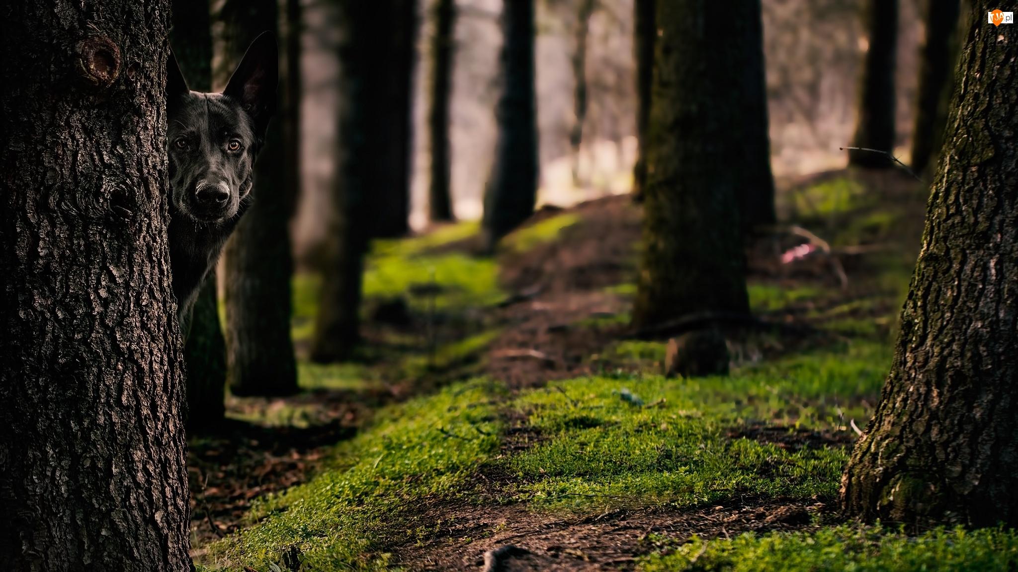 Czarny owczarek niemiecki, Las, Drzewa