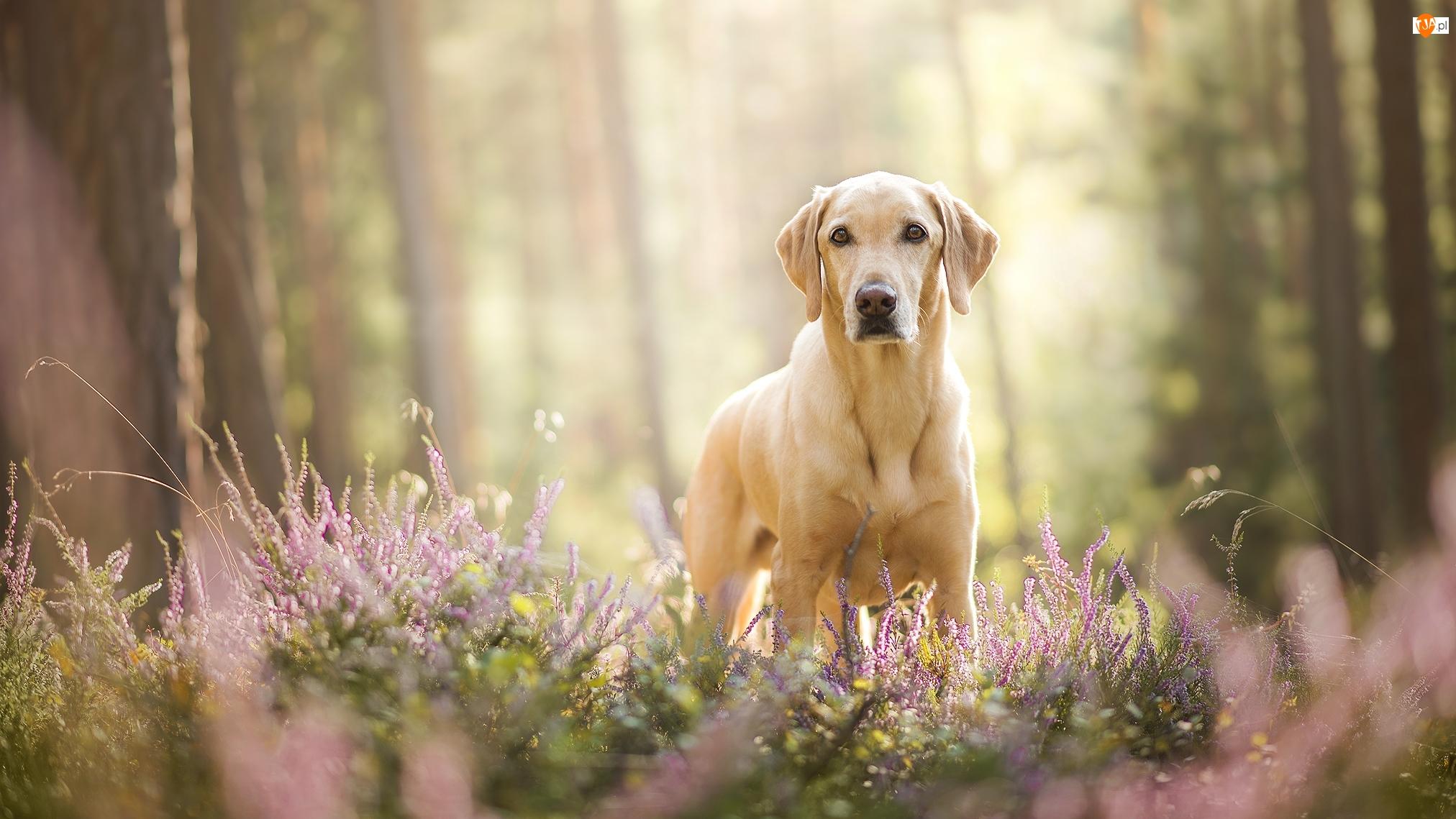 Wrzosy, Pies, Labrador retriever