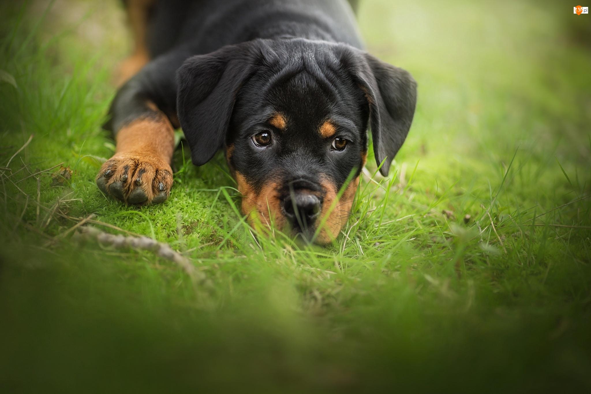 Pies, Trawa, Szczeniak, Rottweiler