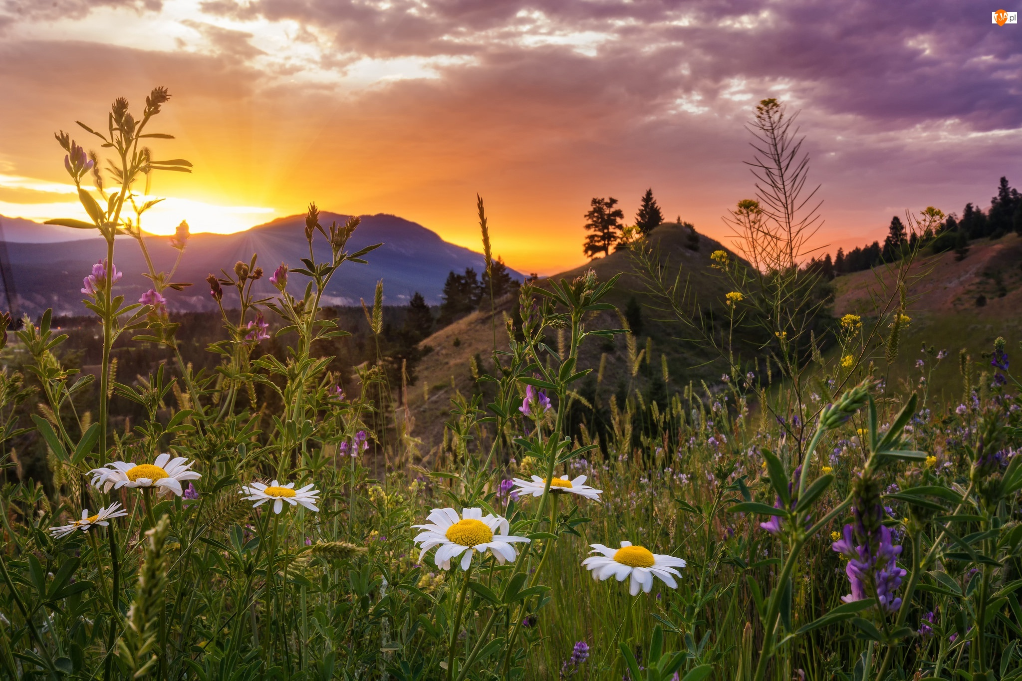 Łąka, Kwiaty, Park Narodowy Kootenay, Rumianek, Kanada, Zachód słońca, Góry, Polne