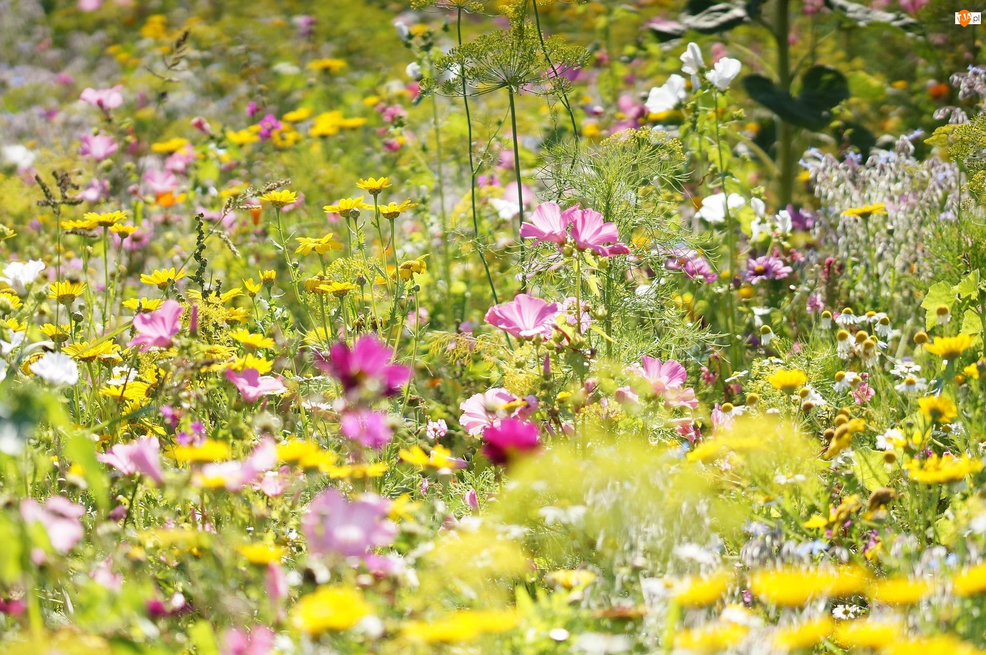 Kwiaty, Łąka, Kolorowe