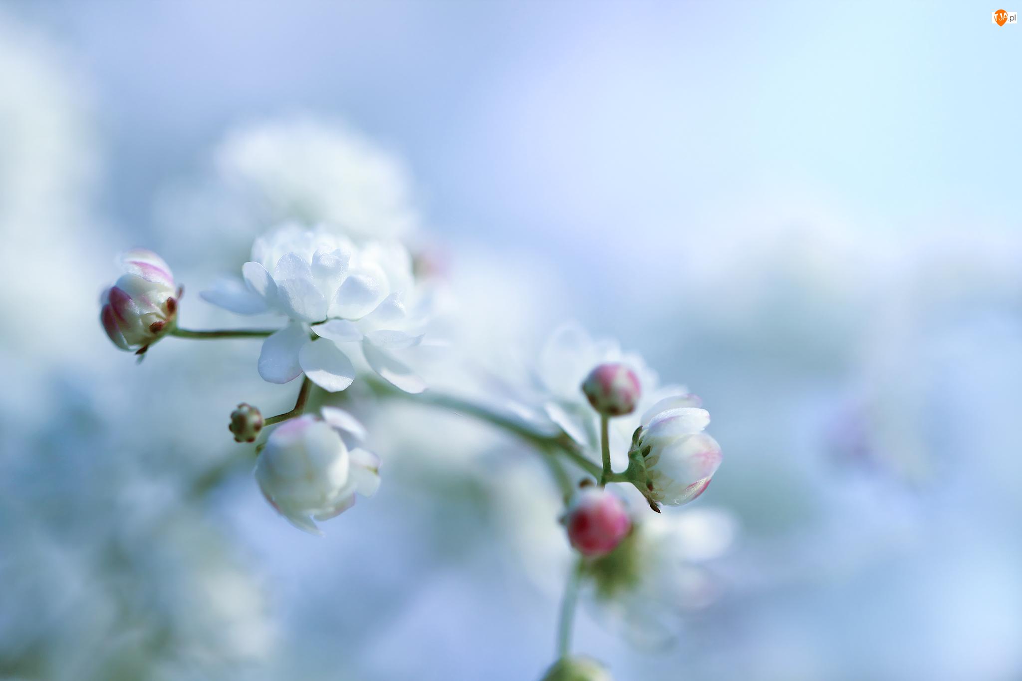 Krzew, Biały, Kwiat