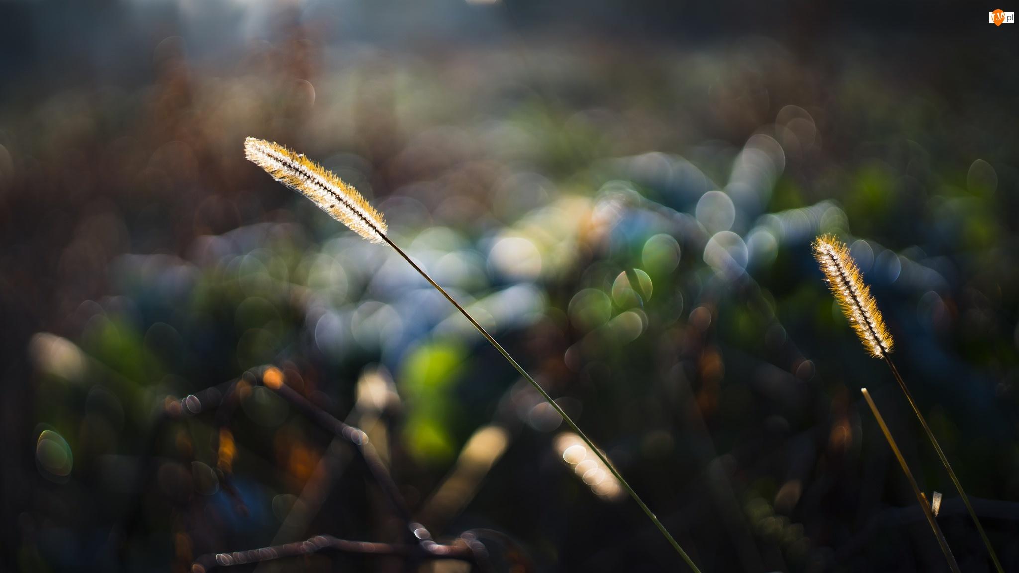 Roślina, Bokeh, Trawa, Światło