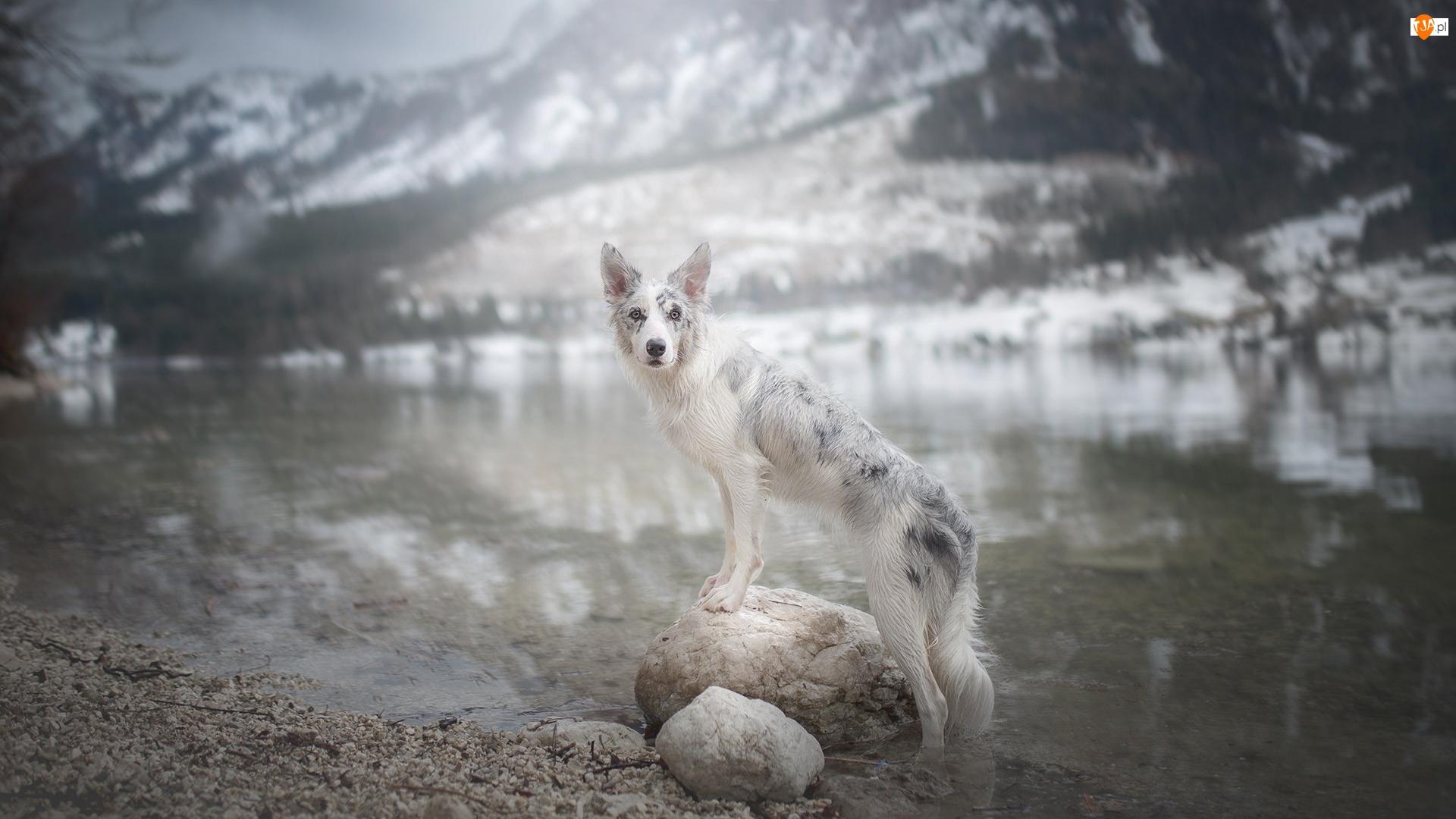 Pies, Kamienie, Border collie, Woda