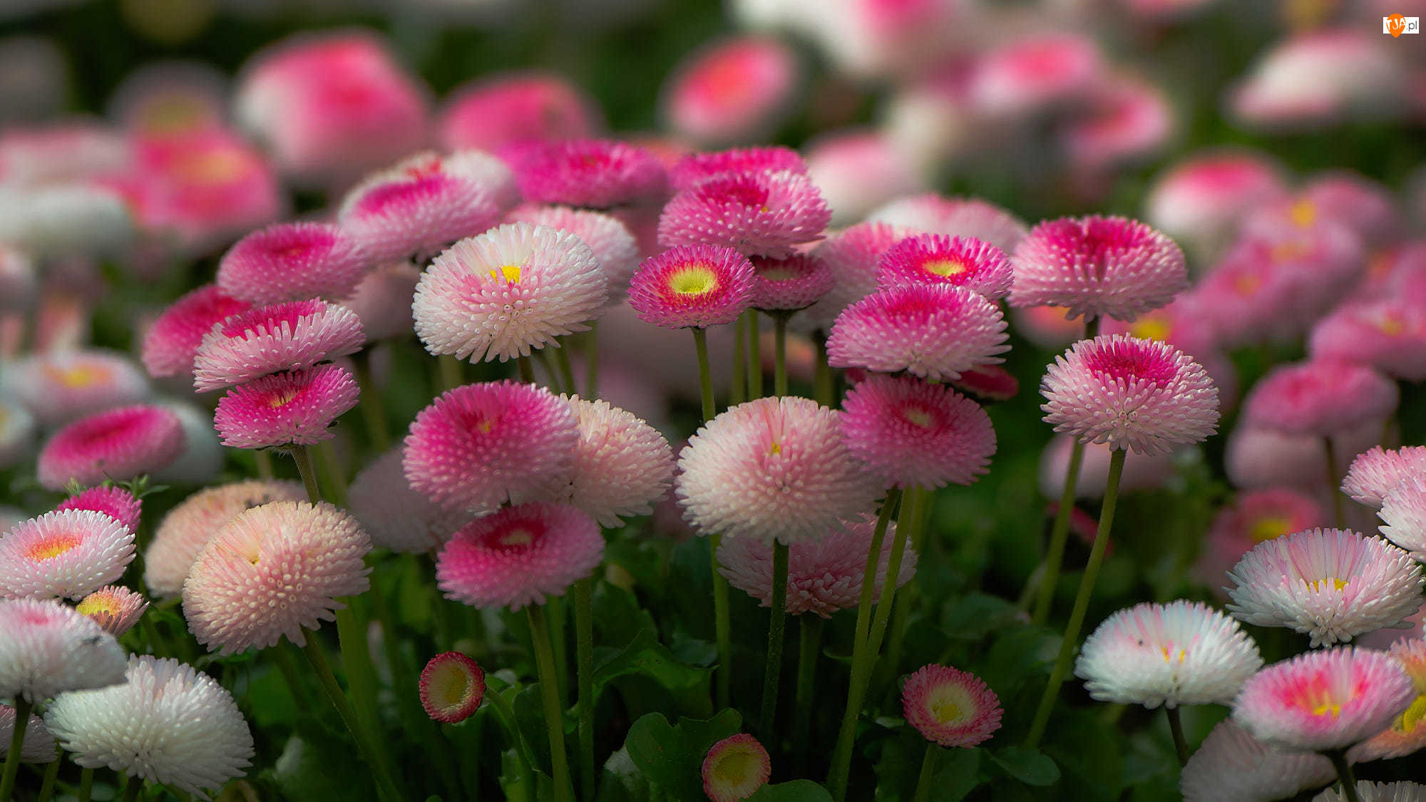 Zbliżenie, Kwiaty, Stokrotki