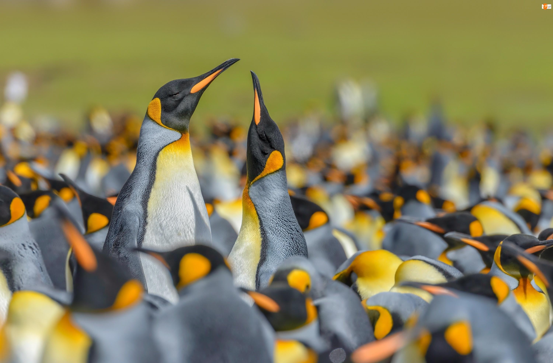 Stado, Pingwiny królewskie, Ptaki