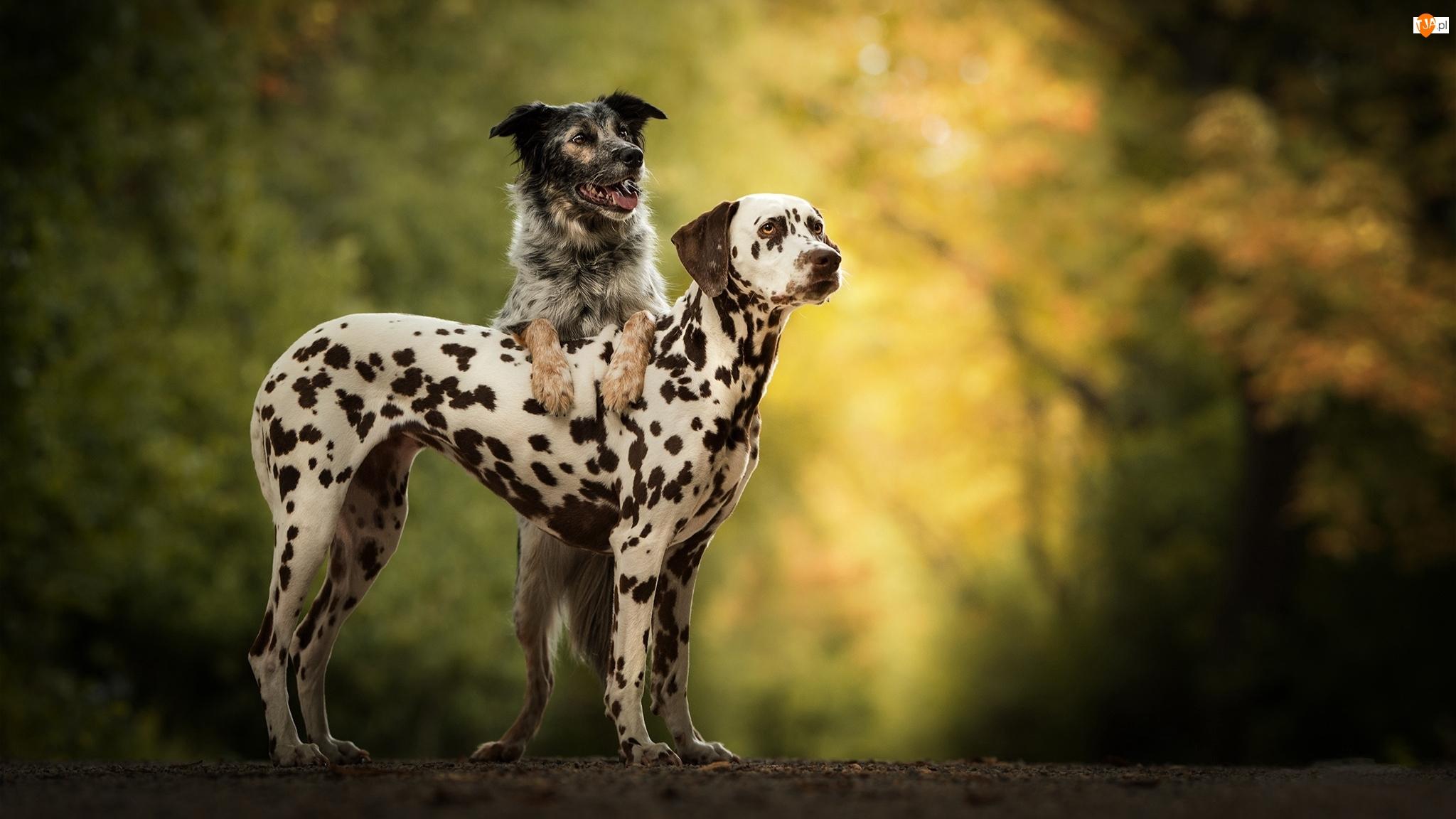 Dwa, Kundelek, Psy, Dalmatyńczyk