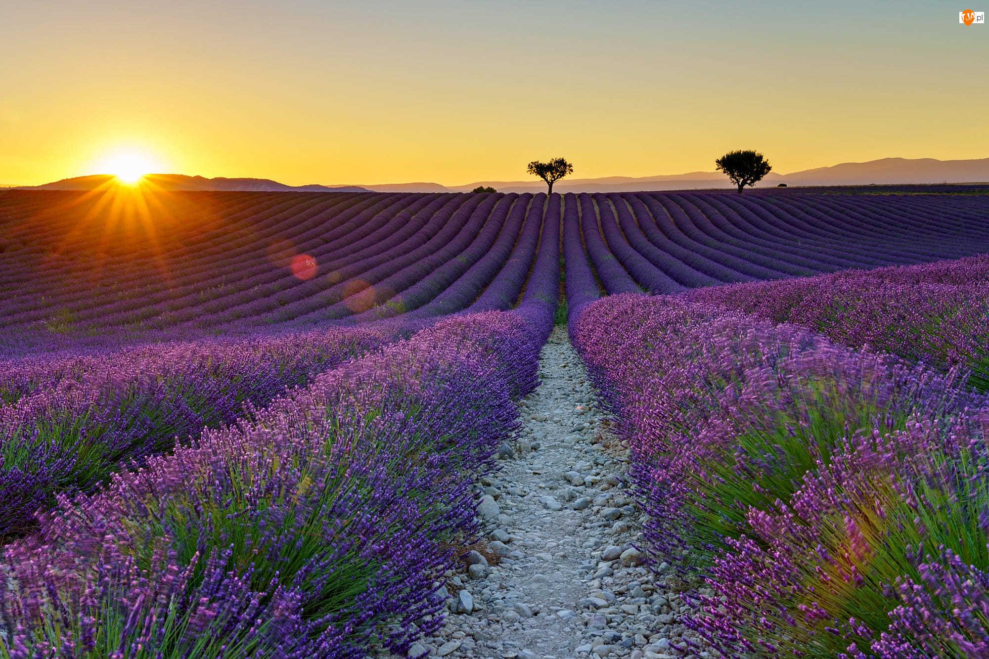 Zachód słońca, Pole, Prowansja, Francja, Drzewa, Valensole, Lawenda