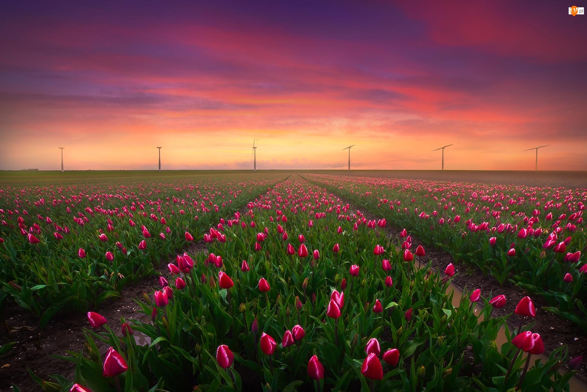 Pole, Wiatraki, Holandia, Zachód słońca, Keukenhof, Tulipany