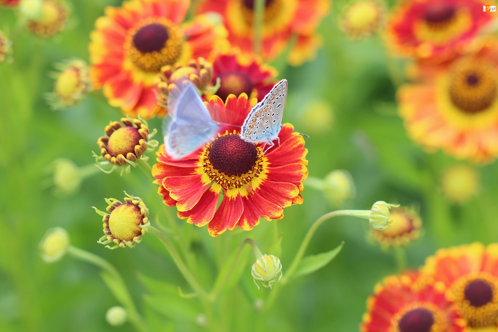 Modraszki, Dzielżan ogrodowy, Kwiaty, Czerwone, Motyle