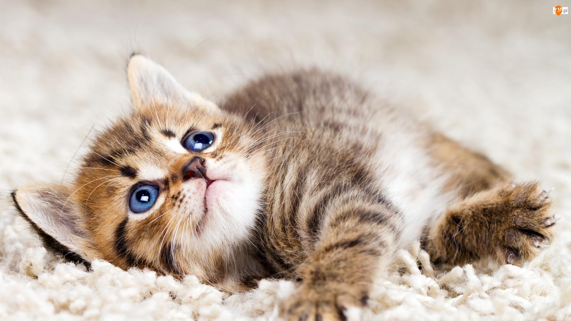Niebieskie, Rozmyte, Kot, Tło, Dywan, Oczy