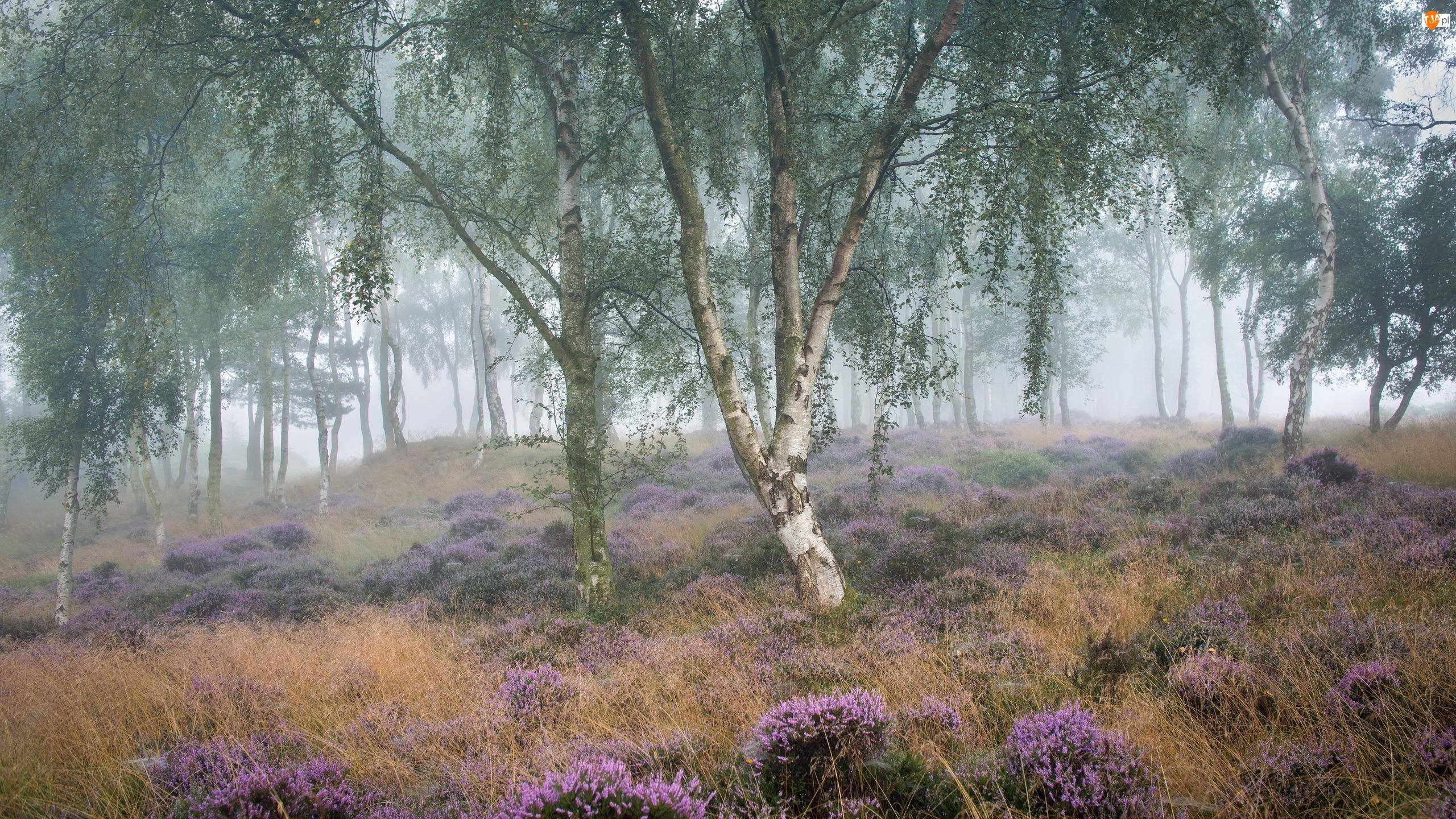Mgła, Wrzosowisko, Drzewa, Wrzos, Brzozy