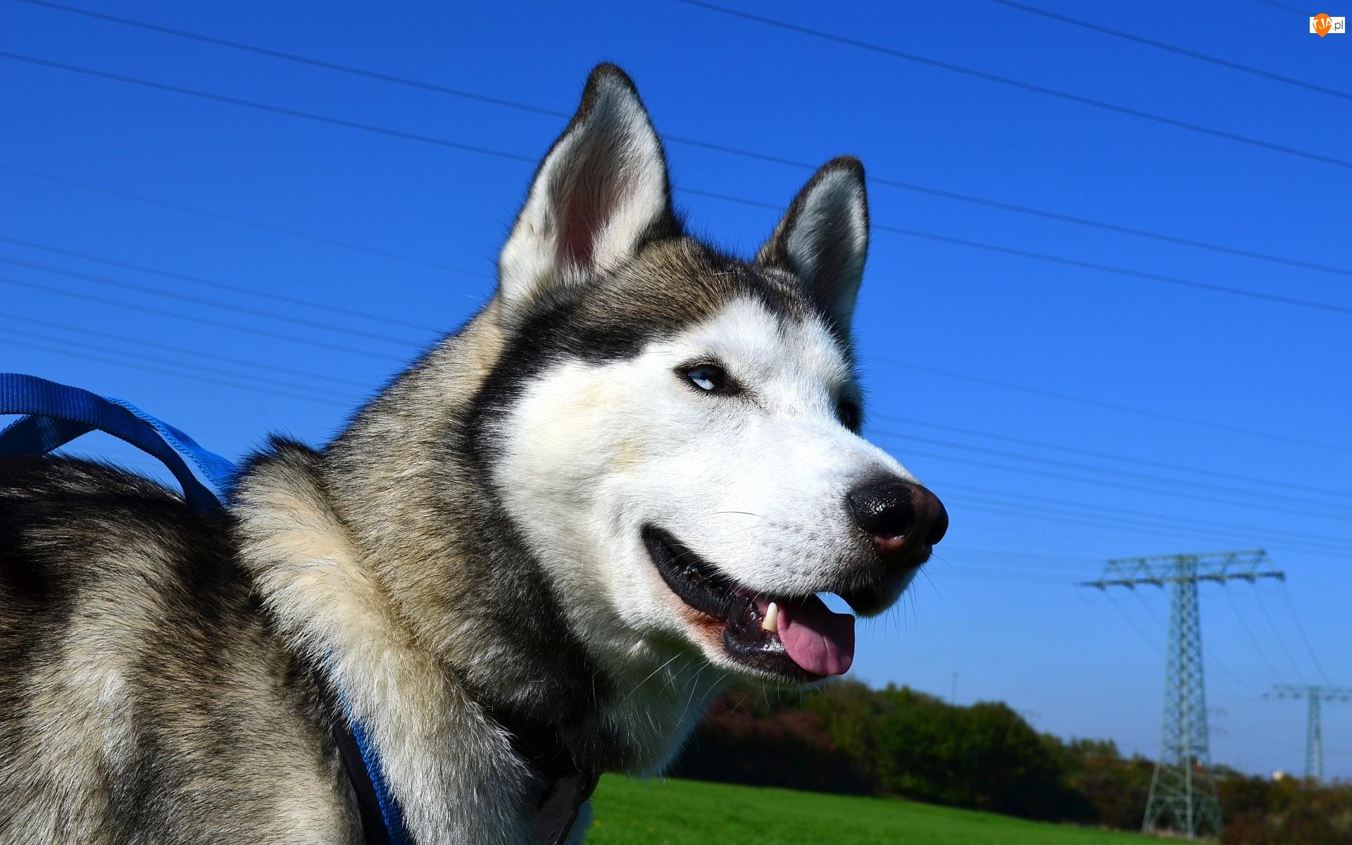 Pies, Siberian husky
