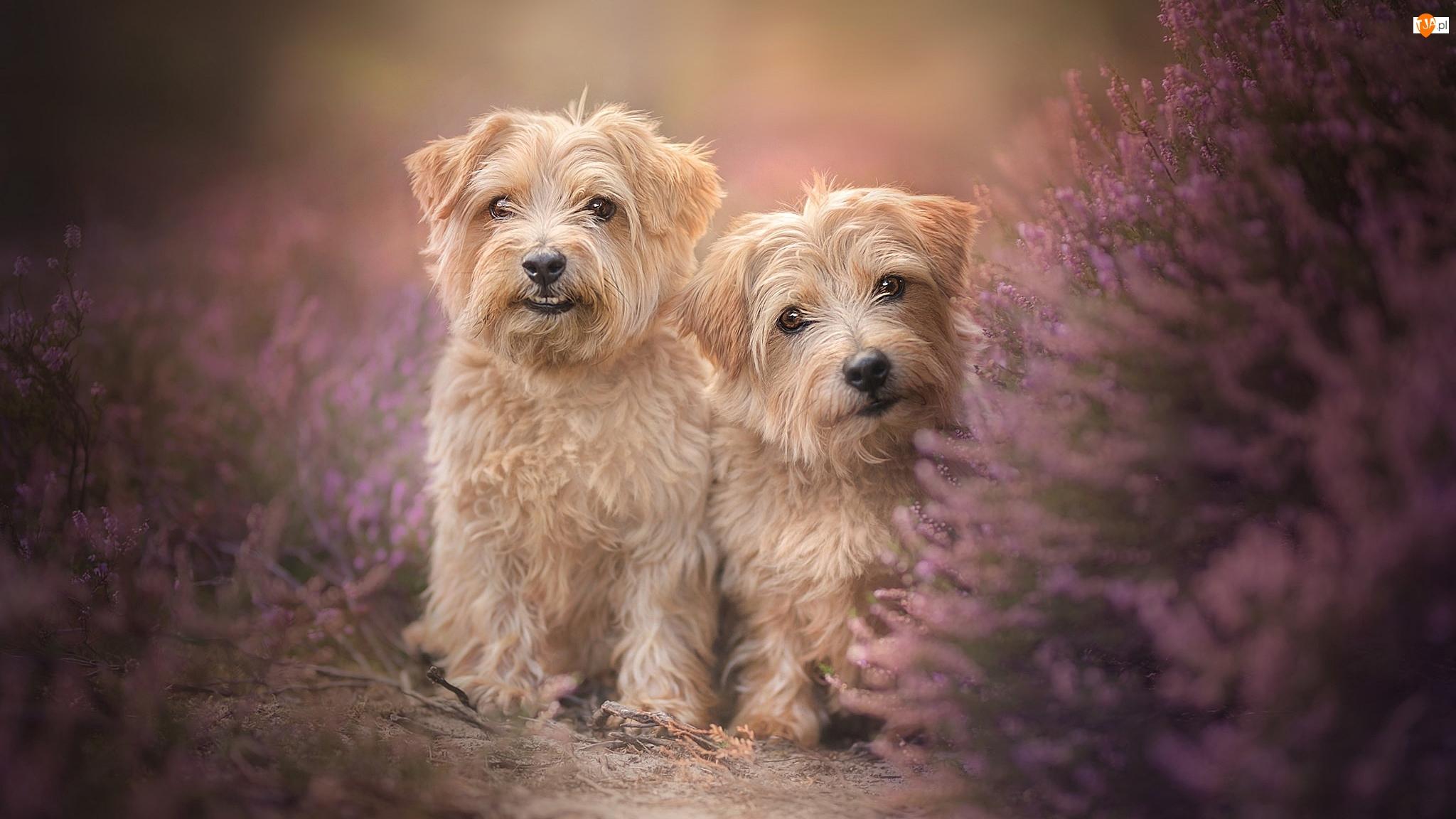 Dwa, Wrzos, Psy, Norfolk terrier