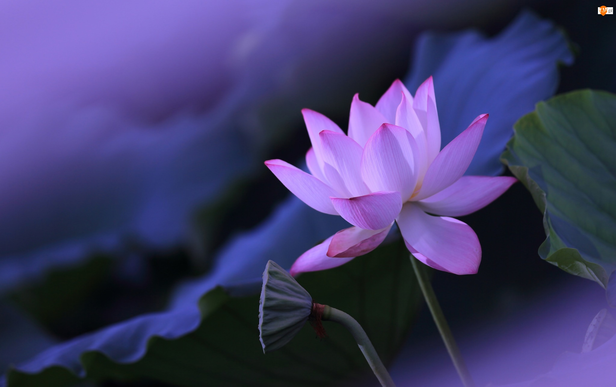 Liście, Lotos, Kwiat