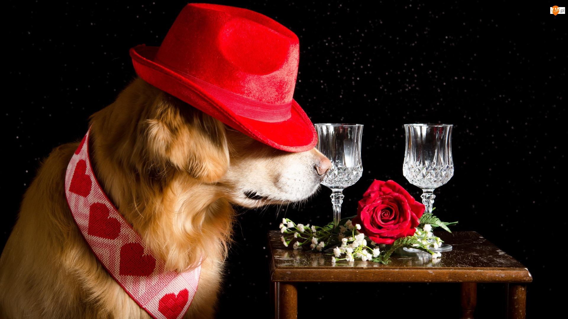 Kieliszki, Stolik, Golden Retriever, Pies, Czarne tło, Kapelusz, Róża