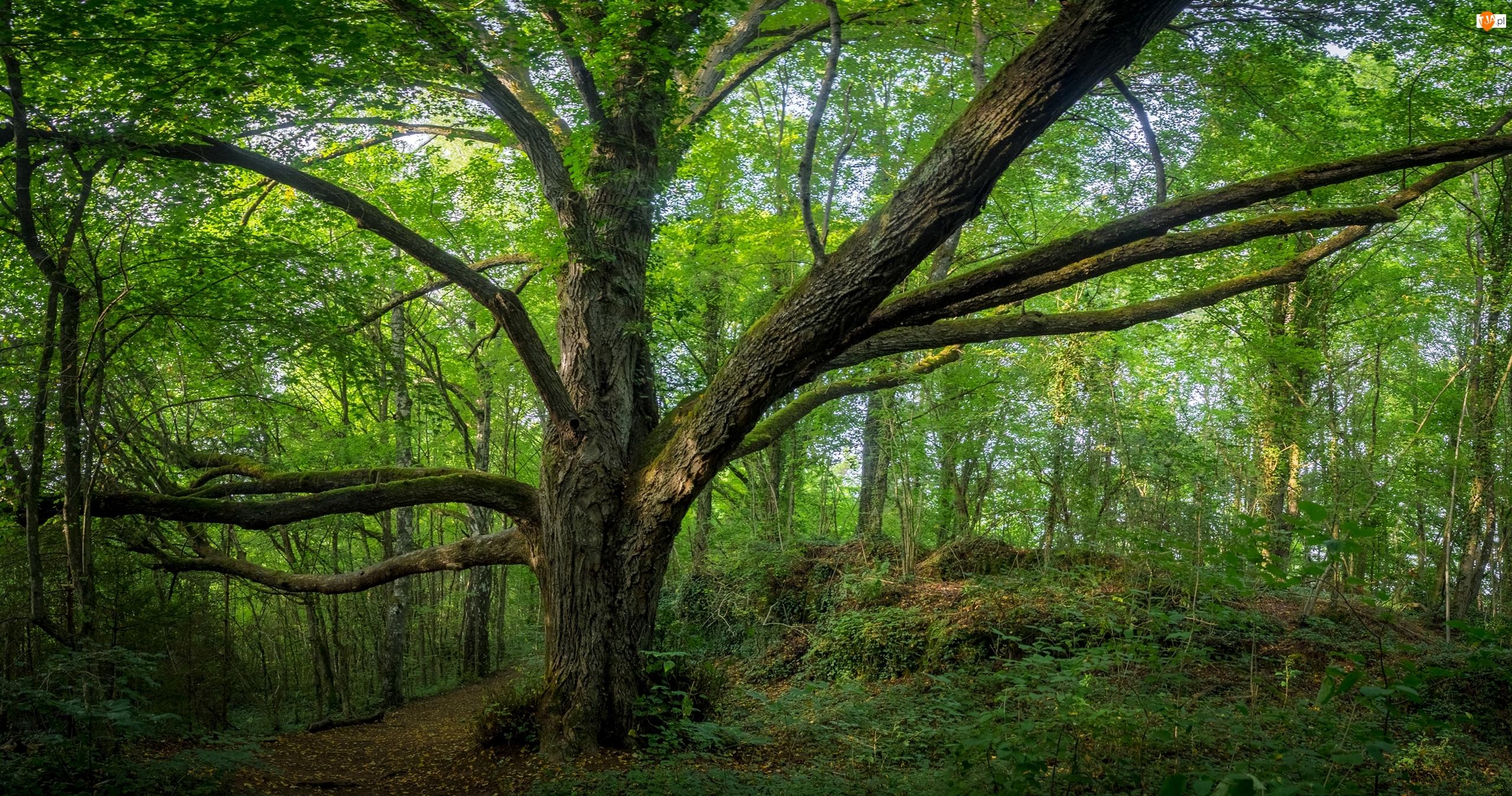 Ścieżka, Drzewo, Las