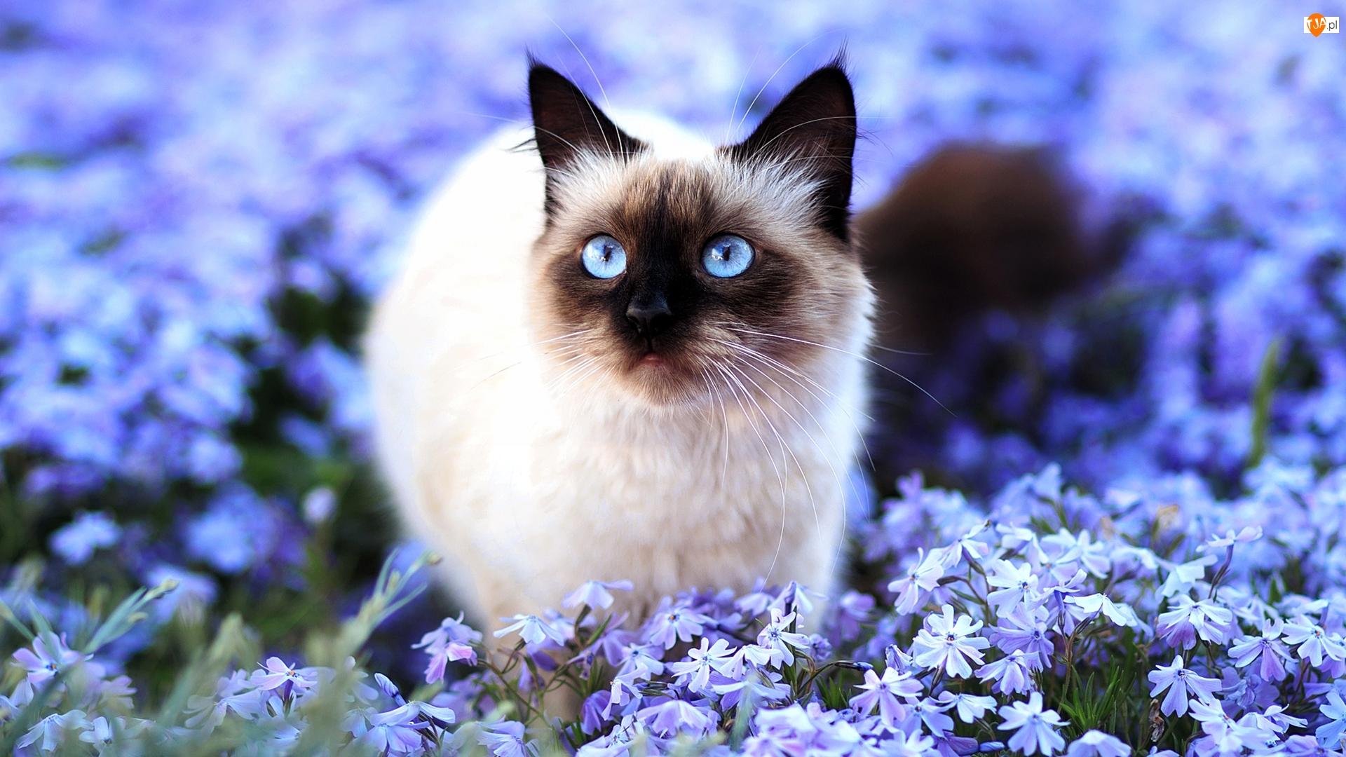 Kot syjamski, Kwiaty