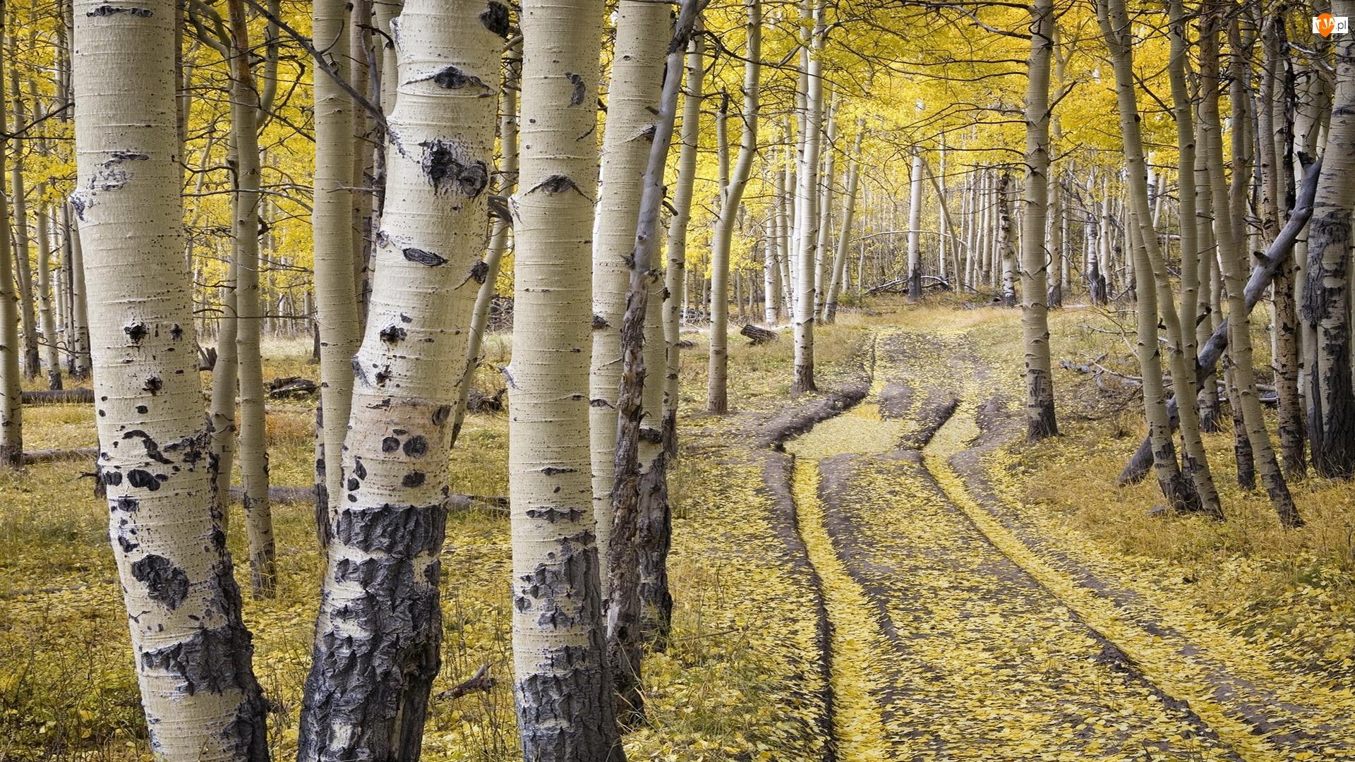 Brzozy, Las, Stan Kolorado, Stany Zjednoczone, Droga, Telluride, Jesień