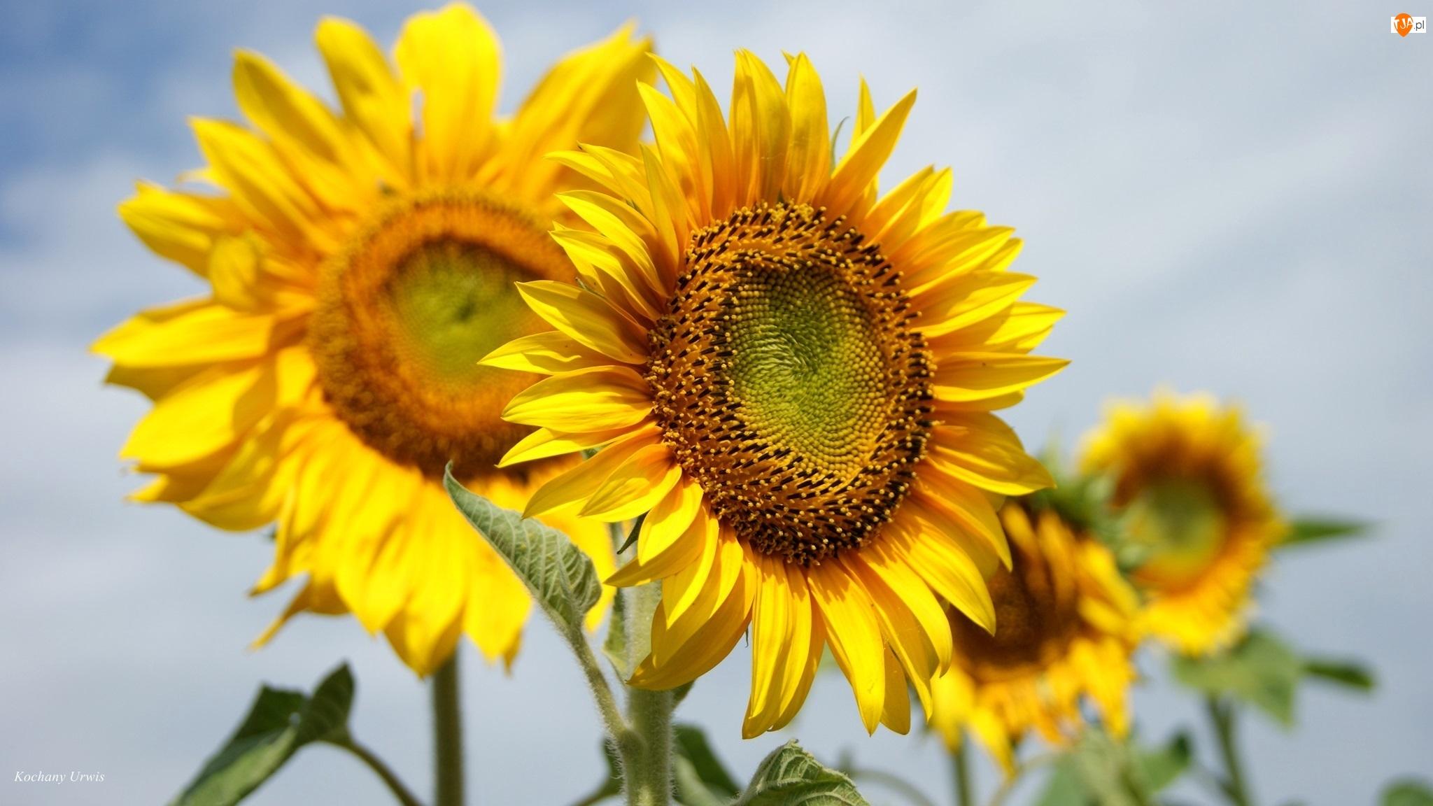 Słoneczniki, Rozmyte tło