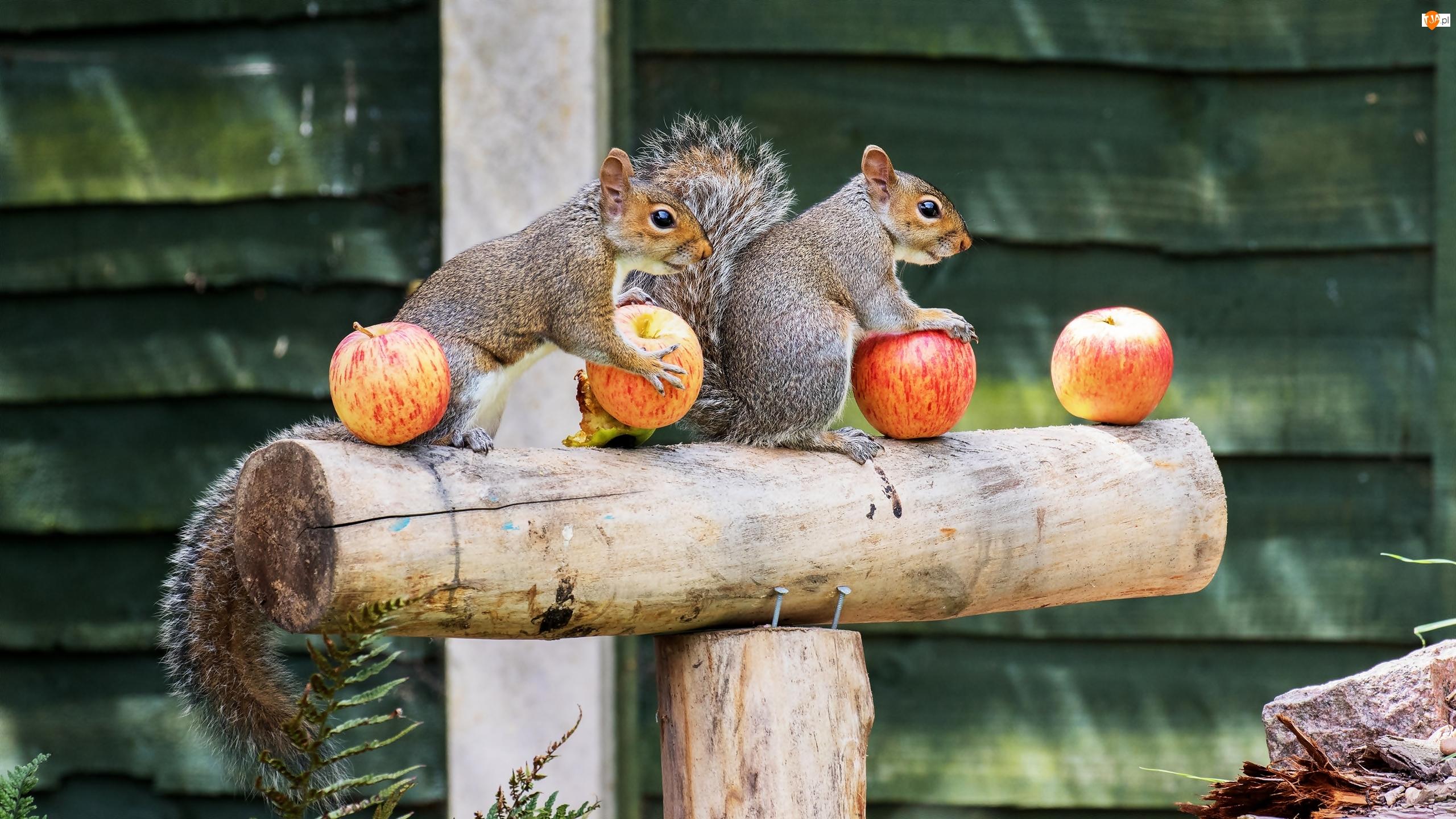 Belka, Wiewiórki, Jabłka