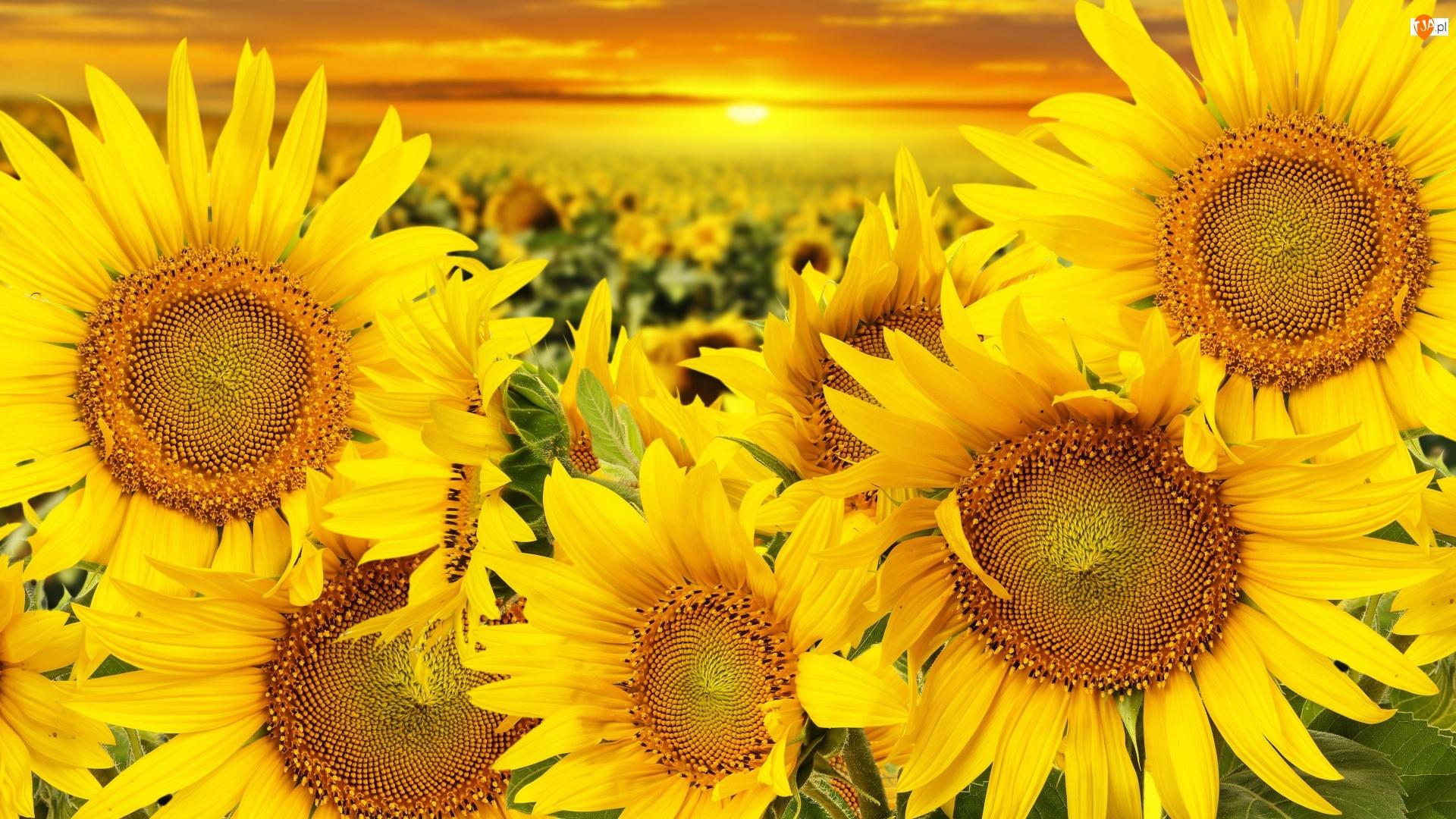Zachód słońca, Słoneczniki, Kwiaty, Żółte