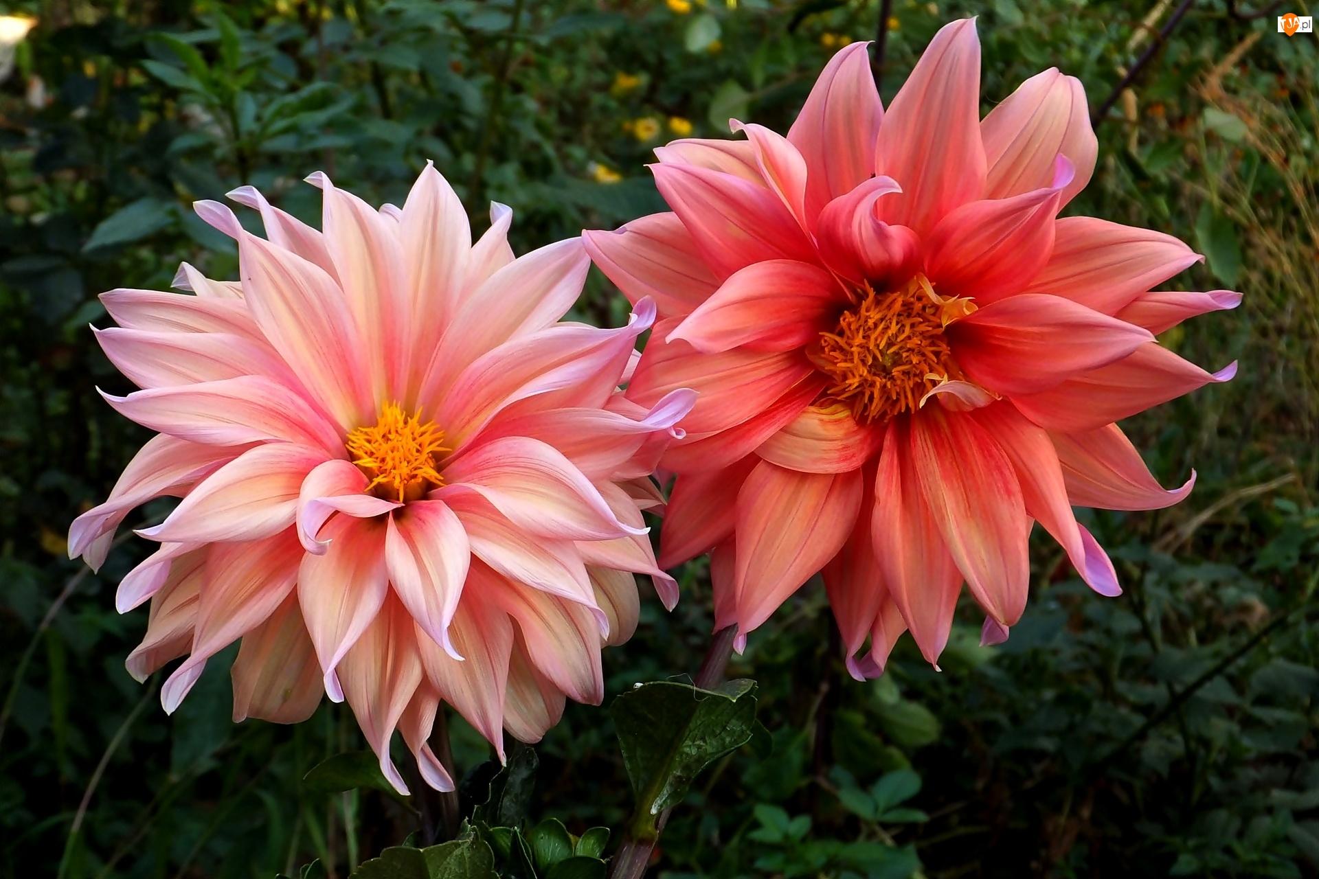 Listki, Dalie, Kwiaty