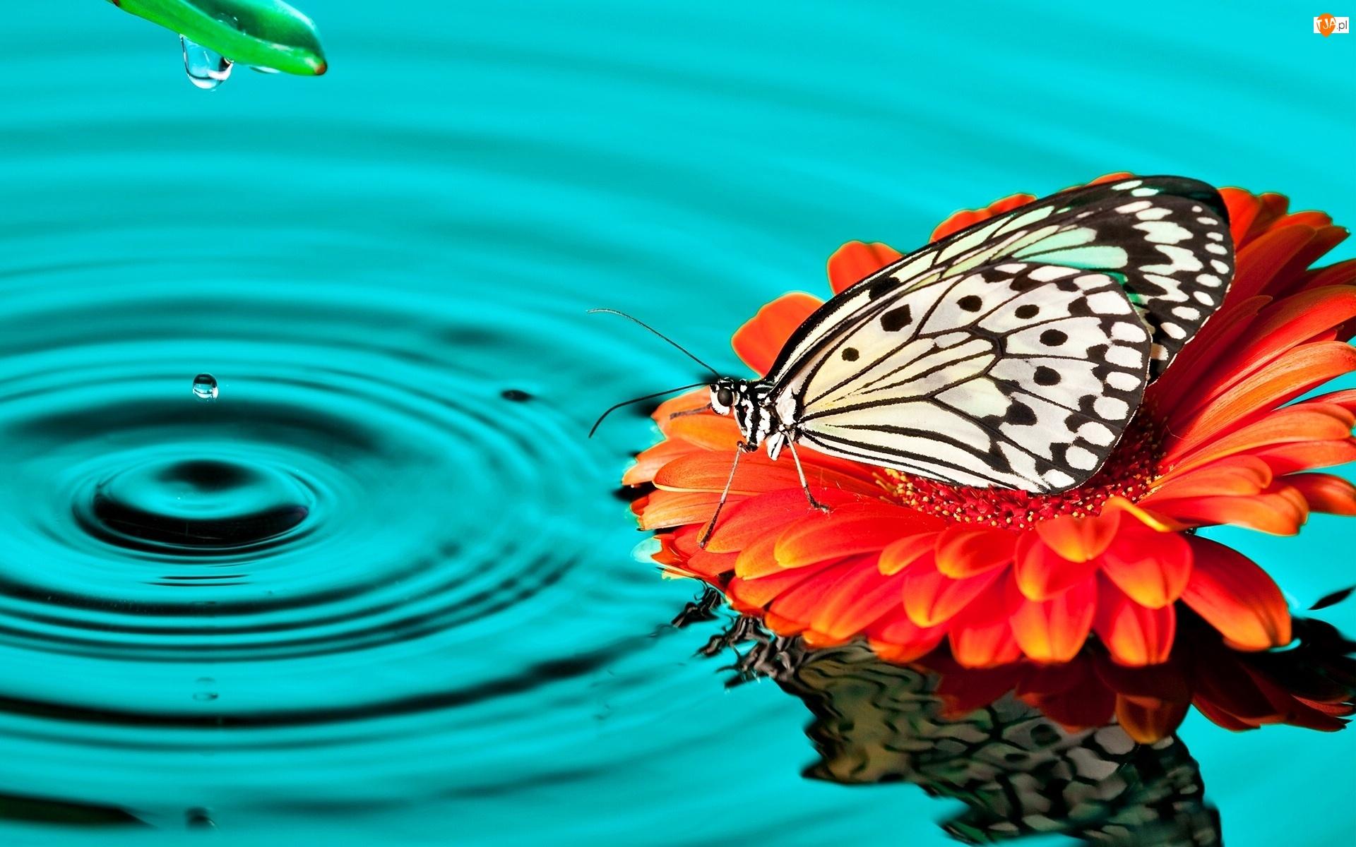Gerbera, Woda, Polowiec szachownica, Motyl, Kwiat