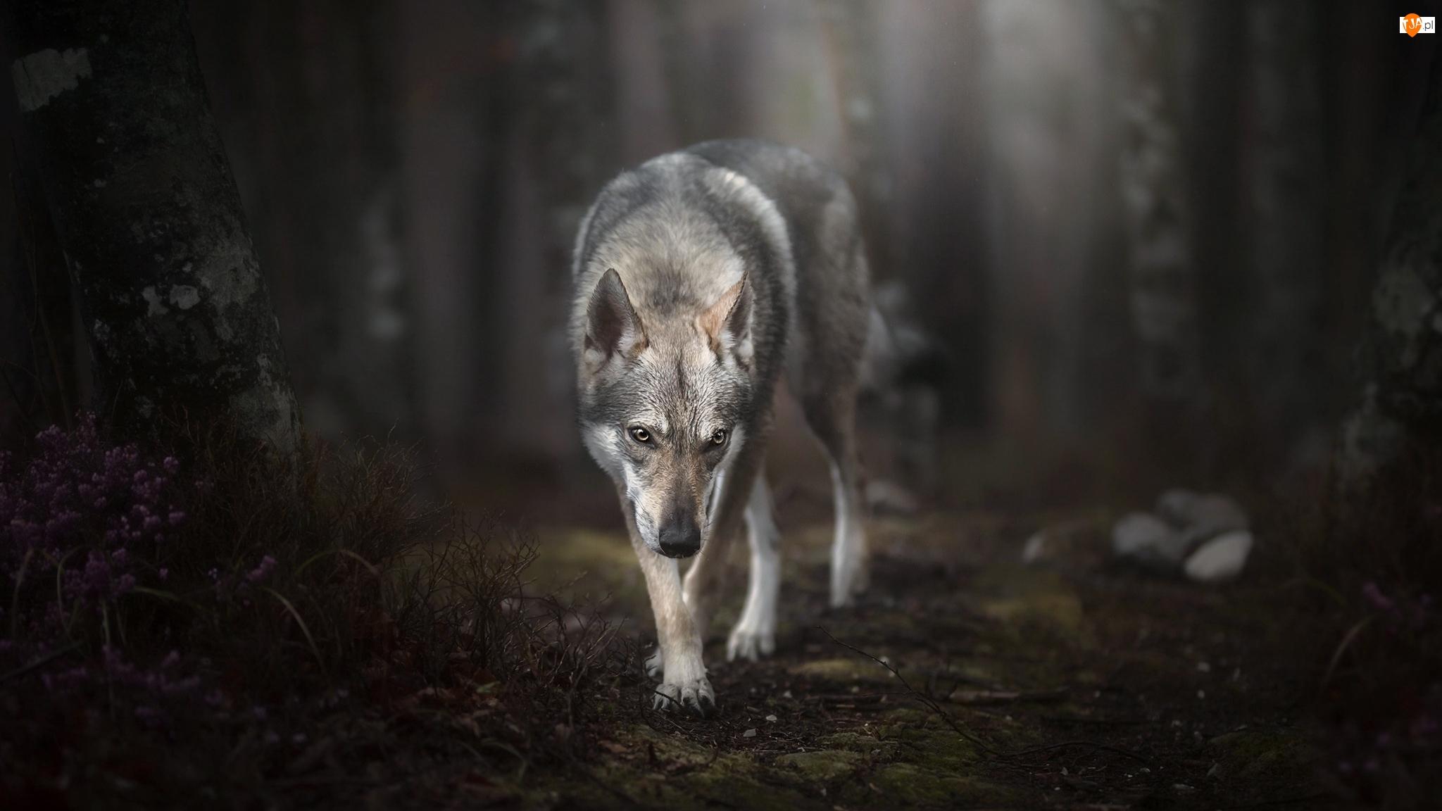 Las, Pies, Wilczak czechosłowacki