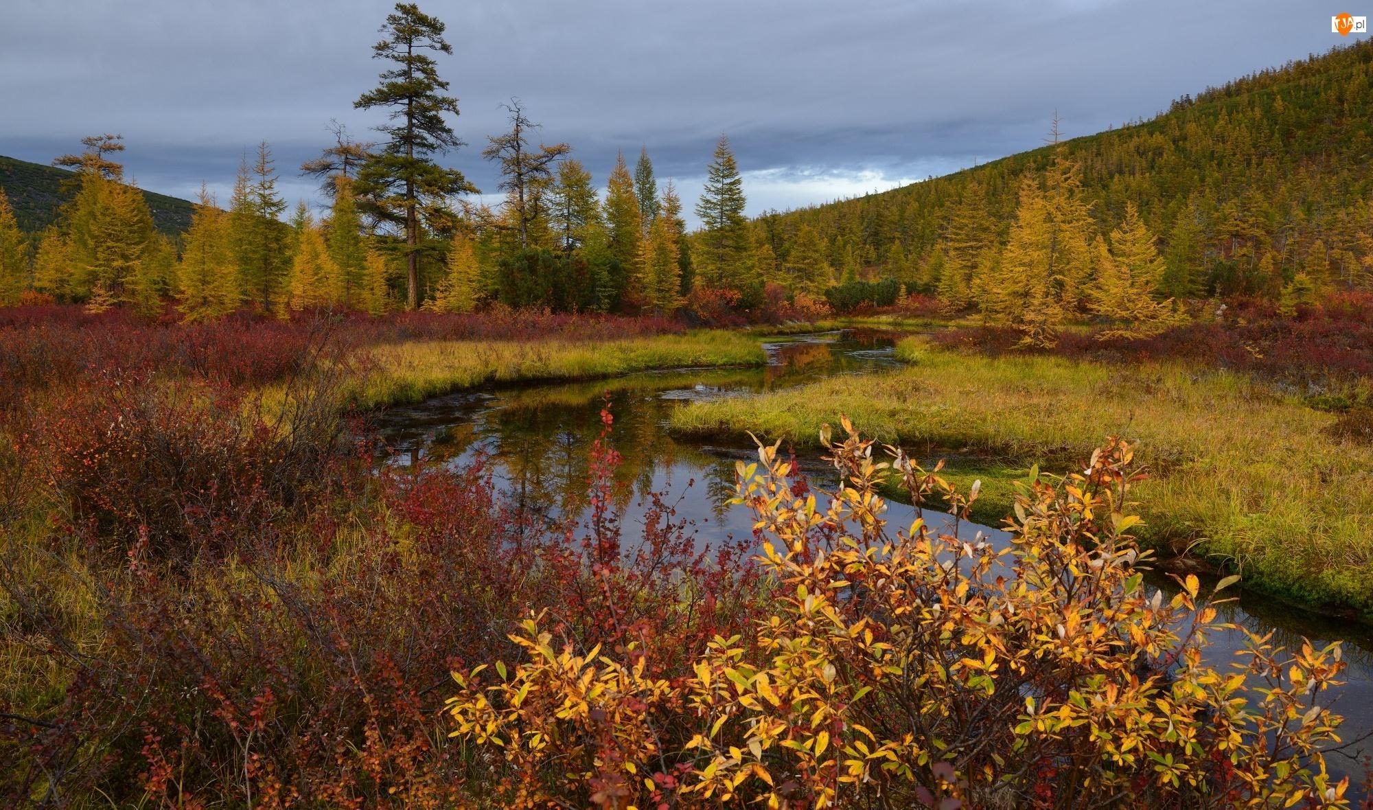 Krzewy, Jesień, Jakucja, Rosja, Rośliny, Rzeka Kołyma, Drzewa