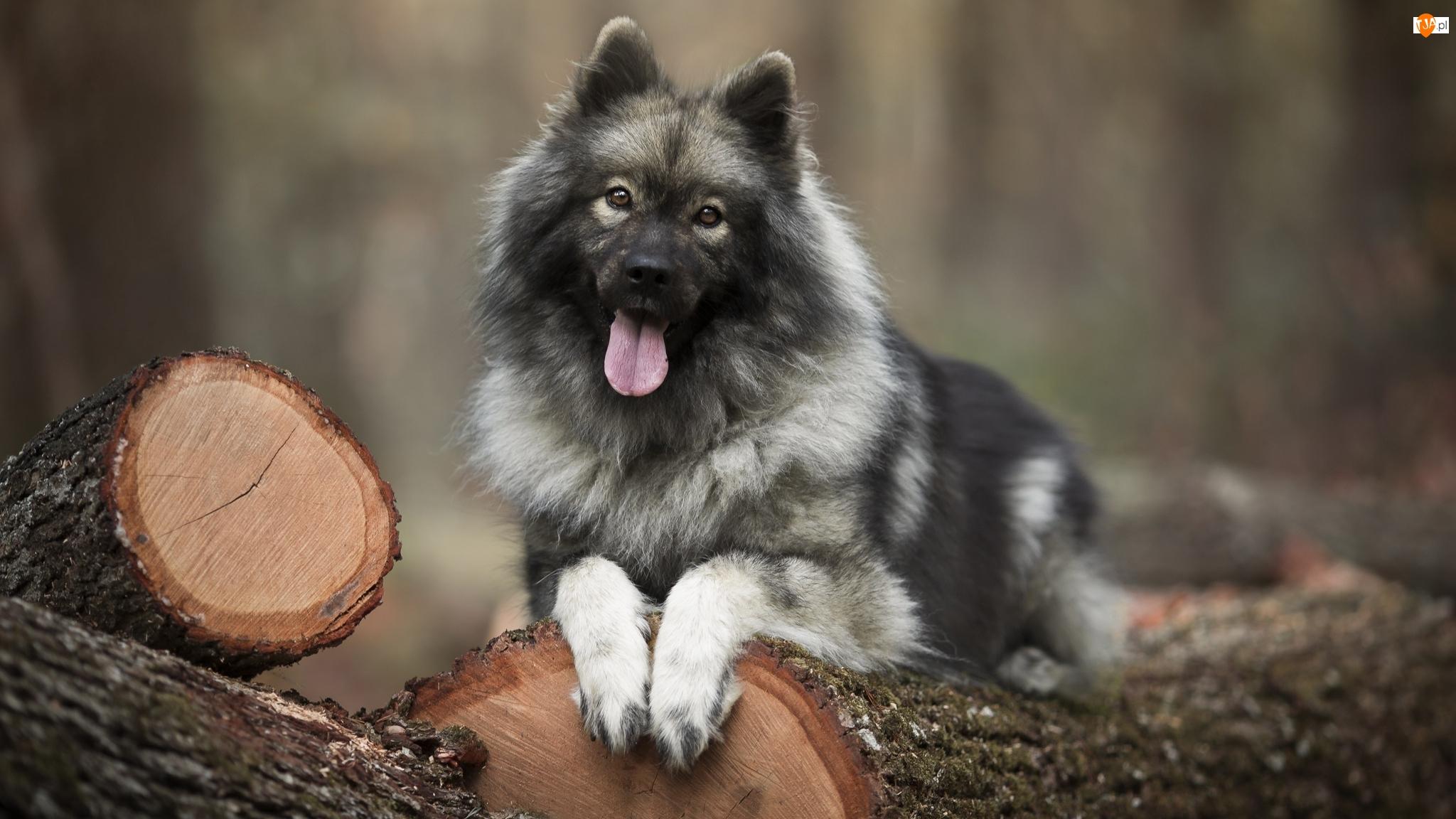 Pies, Drewno, Szpic eurasier, Kłody