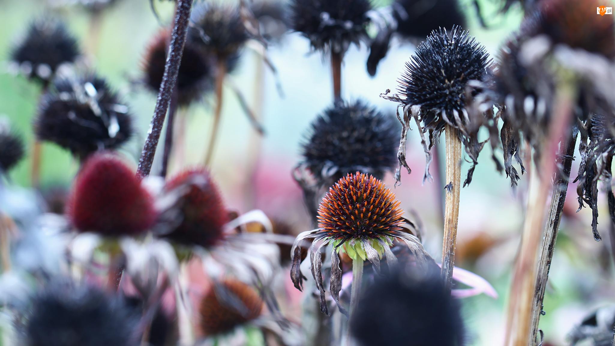 Jeżówki, Kwiaty, Uschnięte, Przekwitnięte